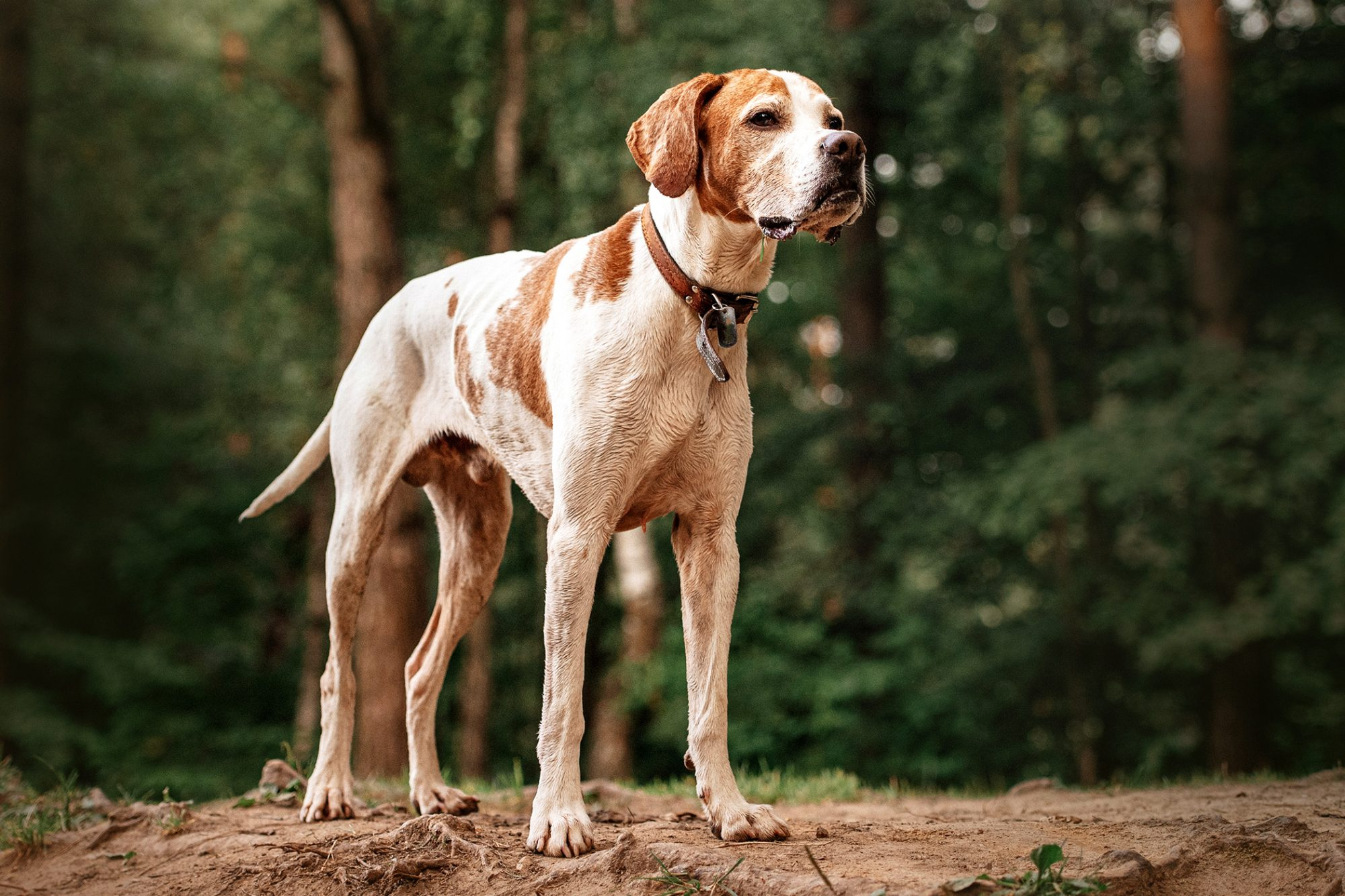Senior English Pointer standing in forest