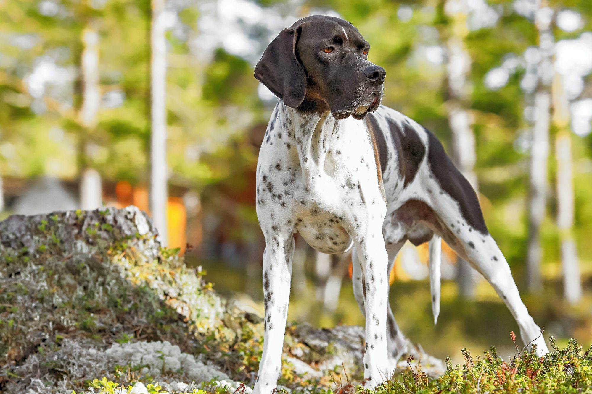 English Pointer standing in forest