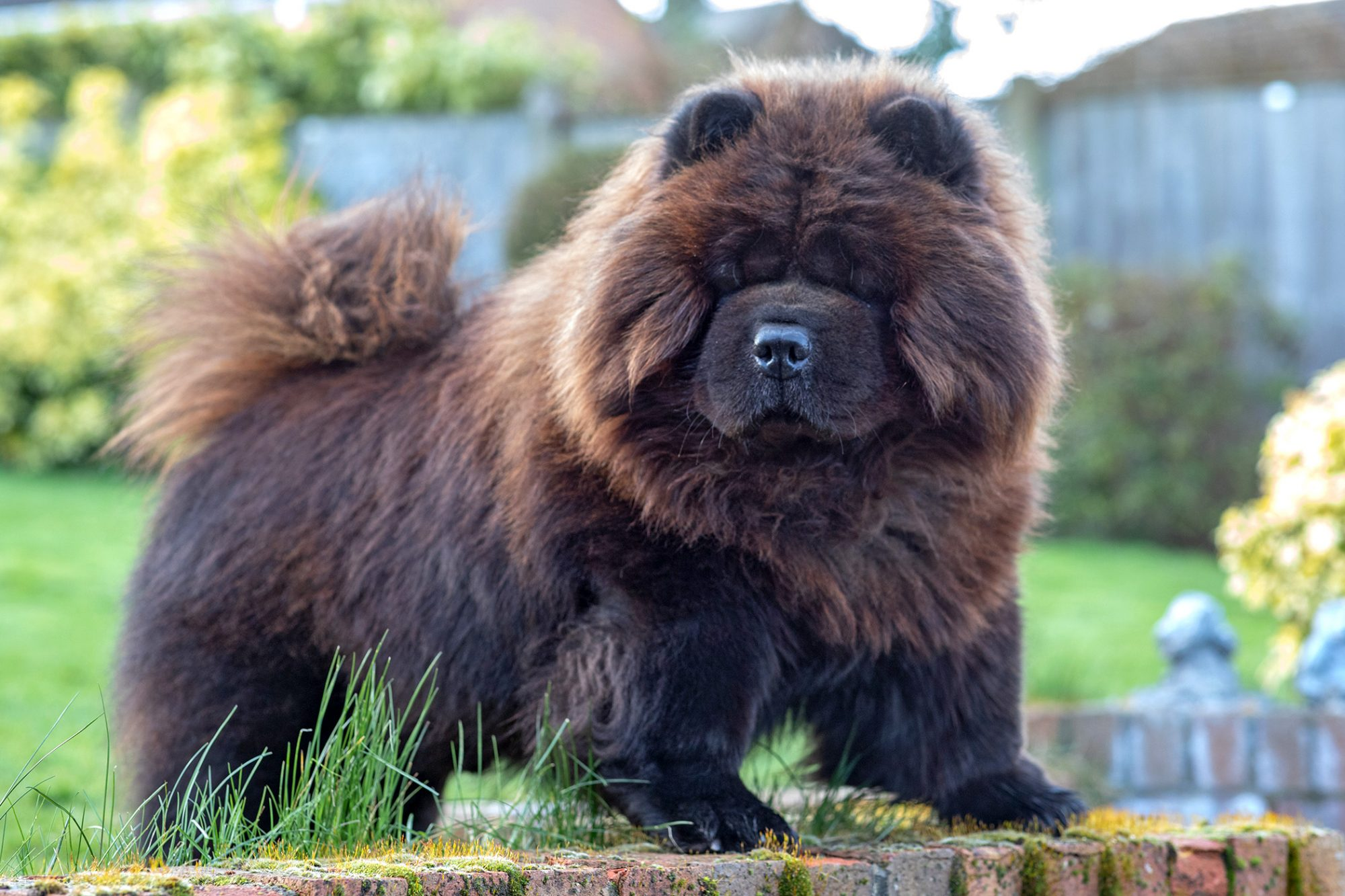 Black and brown Chow Chow standing on brick wall