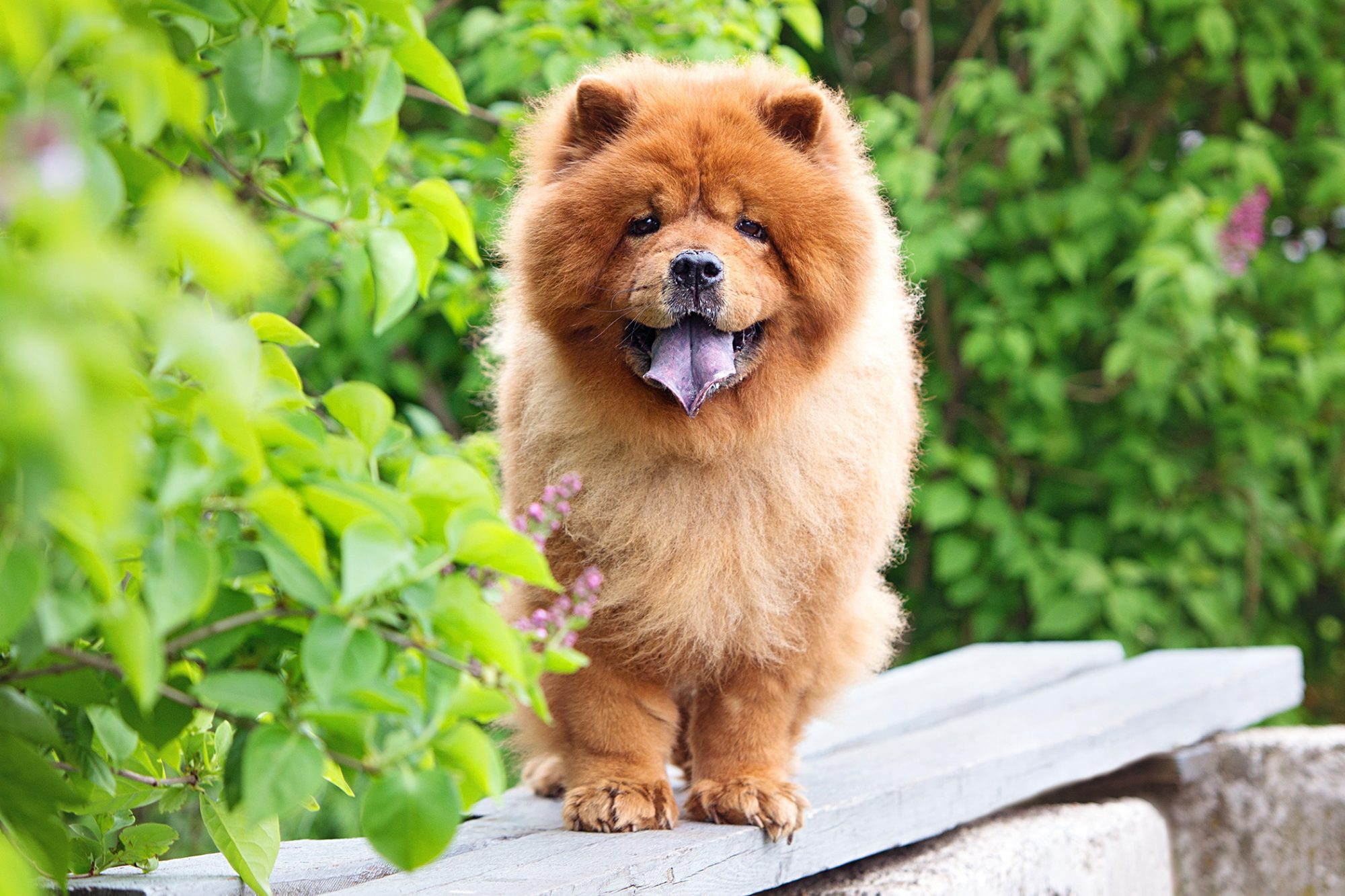 Red Chow Chow standing on bench