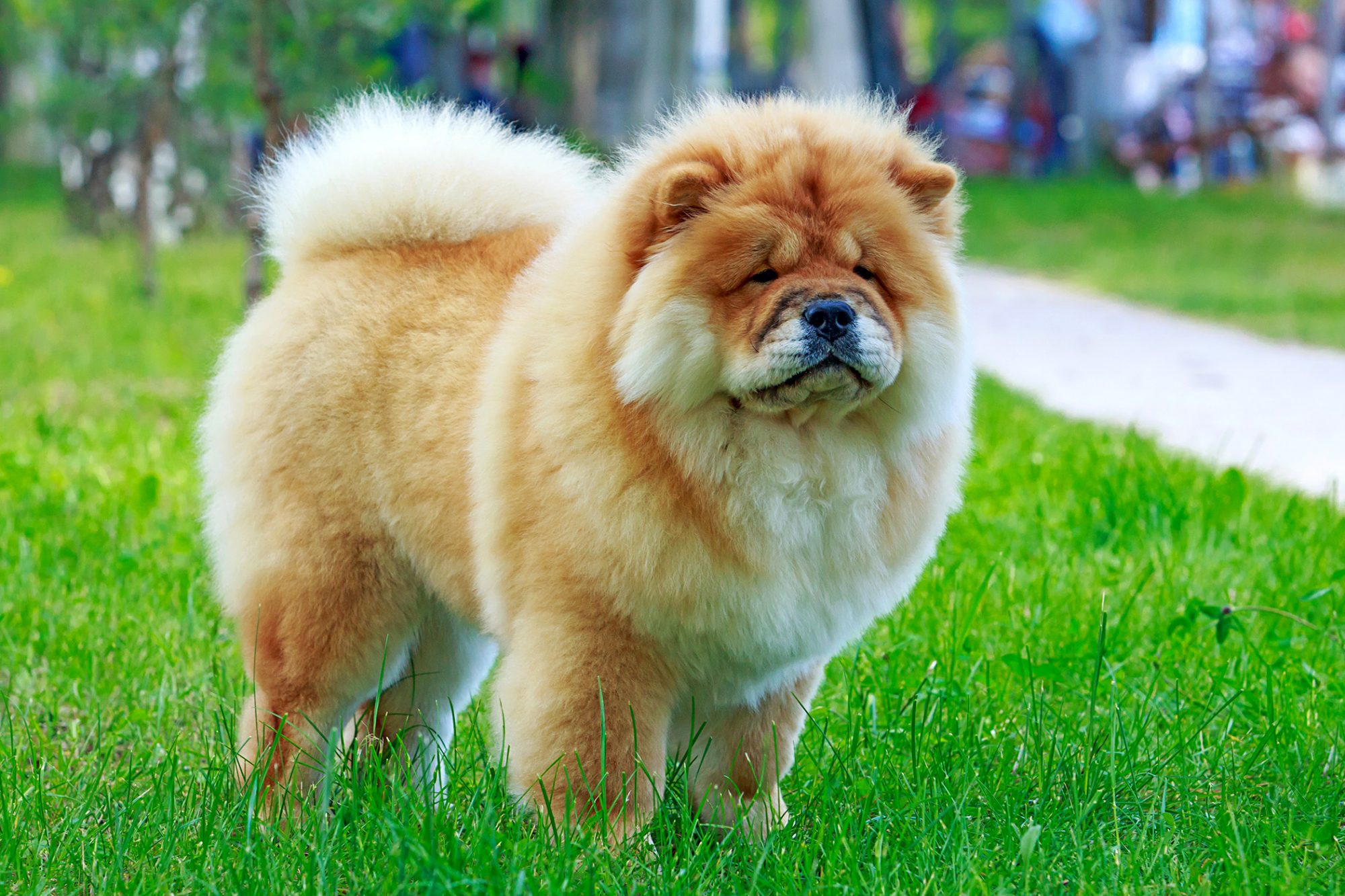 Blonde and white Chow Chow standing in park