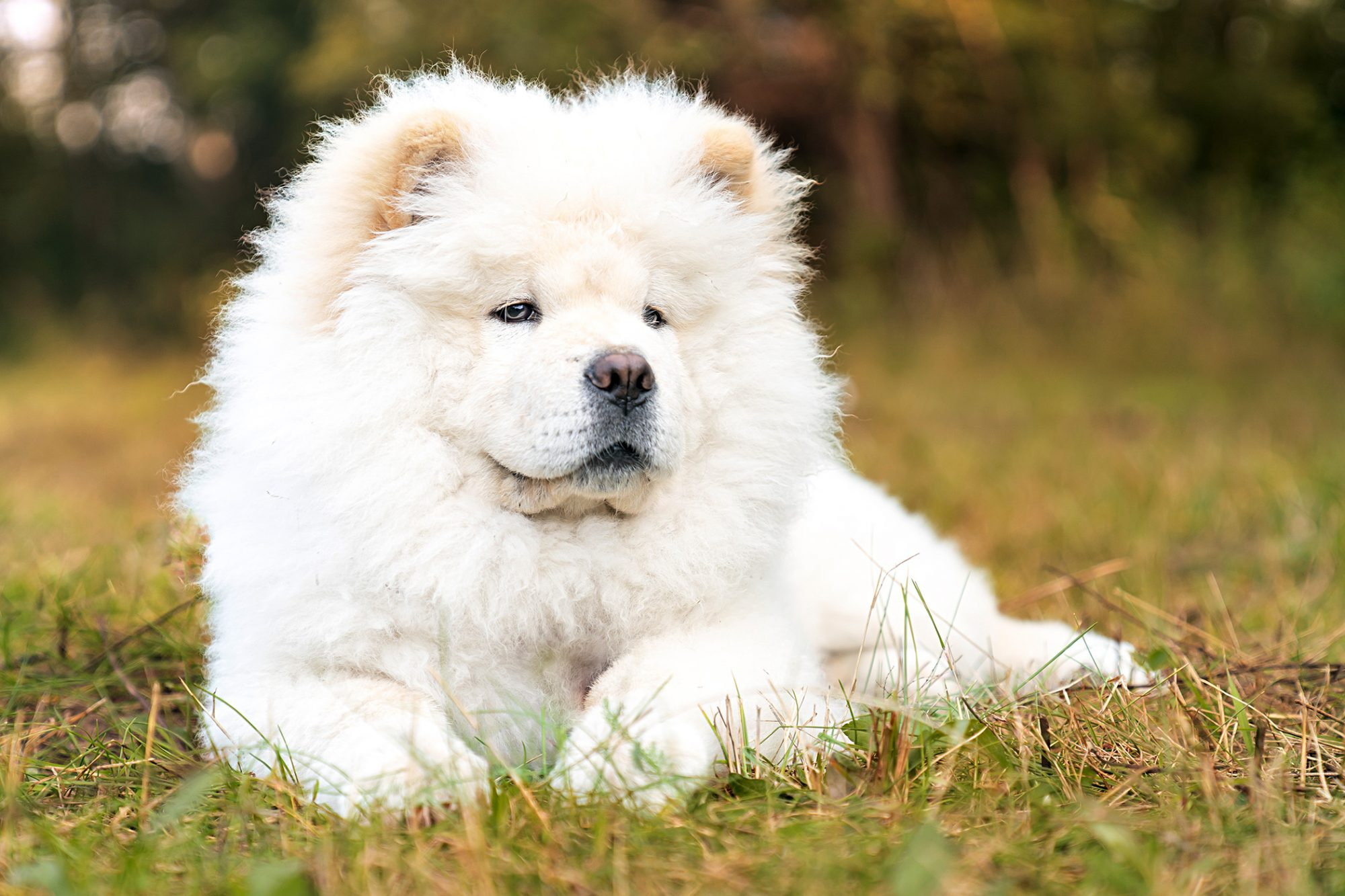 White Chow Chow lying in the grass