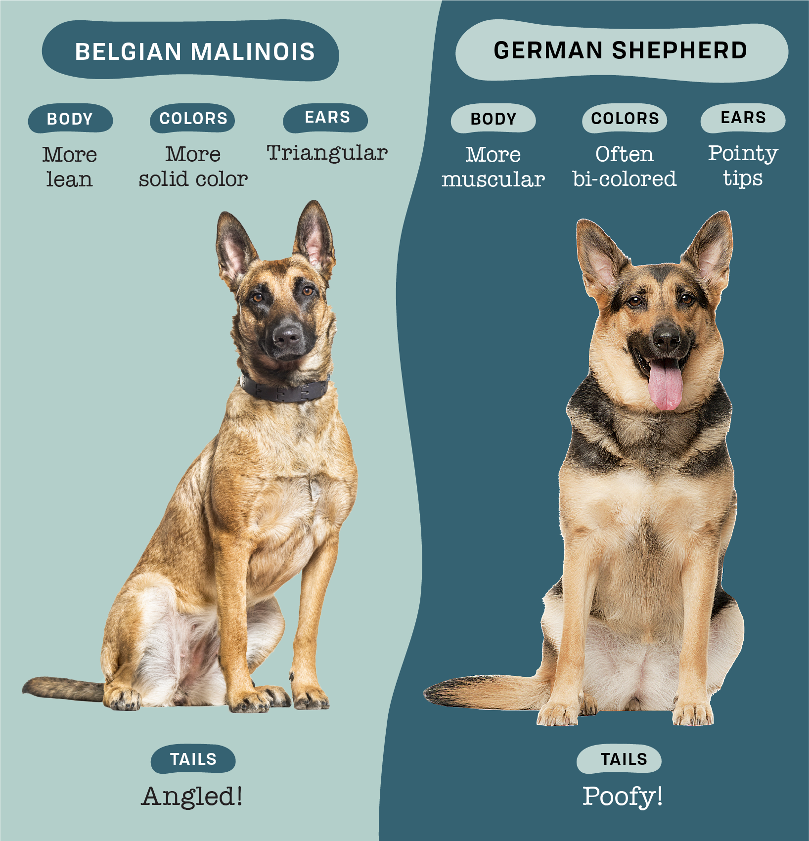 Belgian Malinois and German Shepherd side by side with copy pointing differences