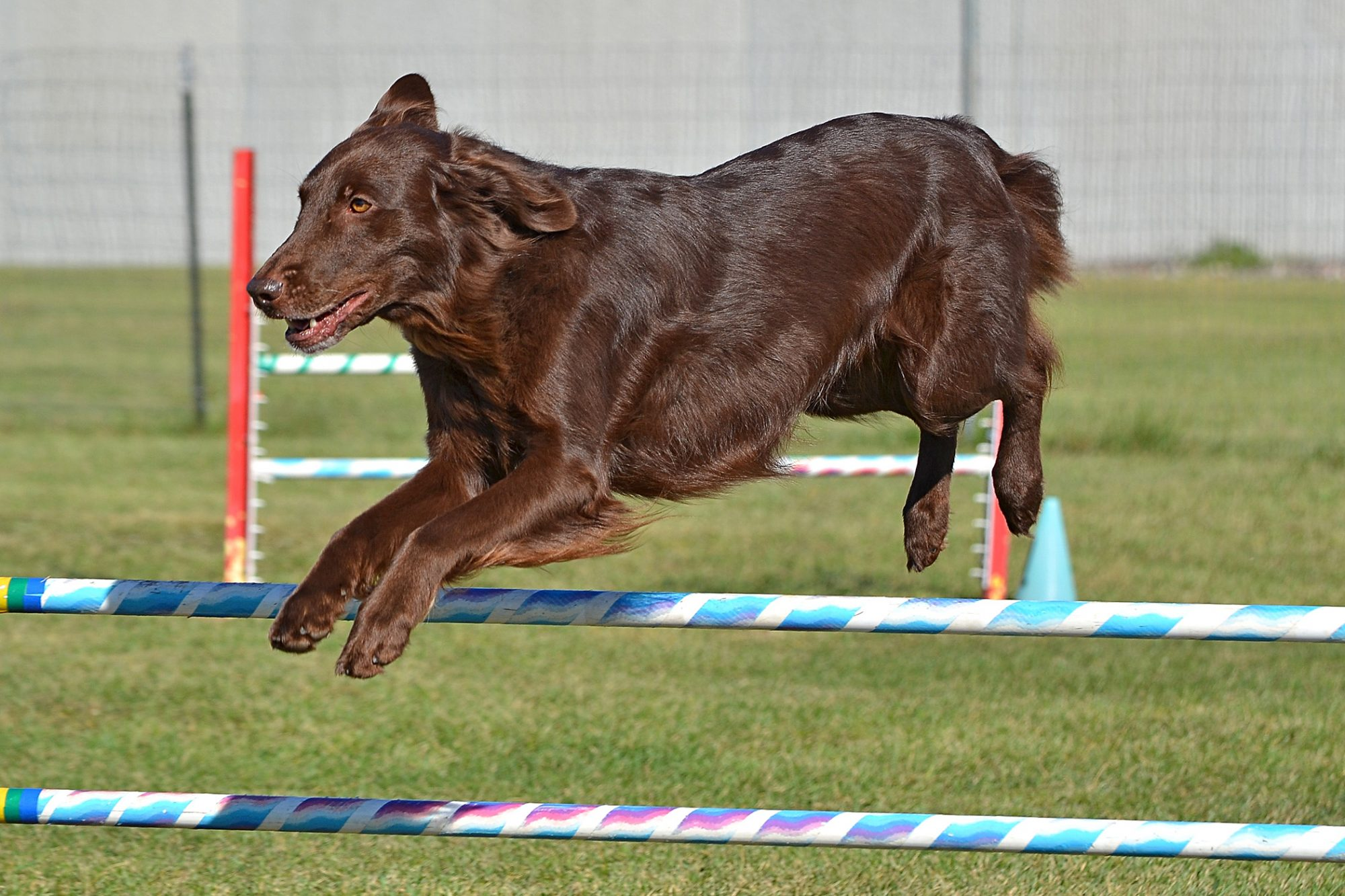 Flat-Coated Retriever jumping over poles in an agility course