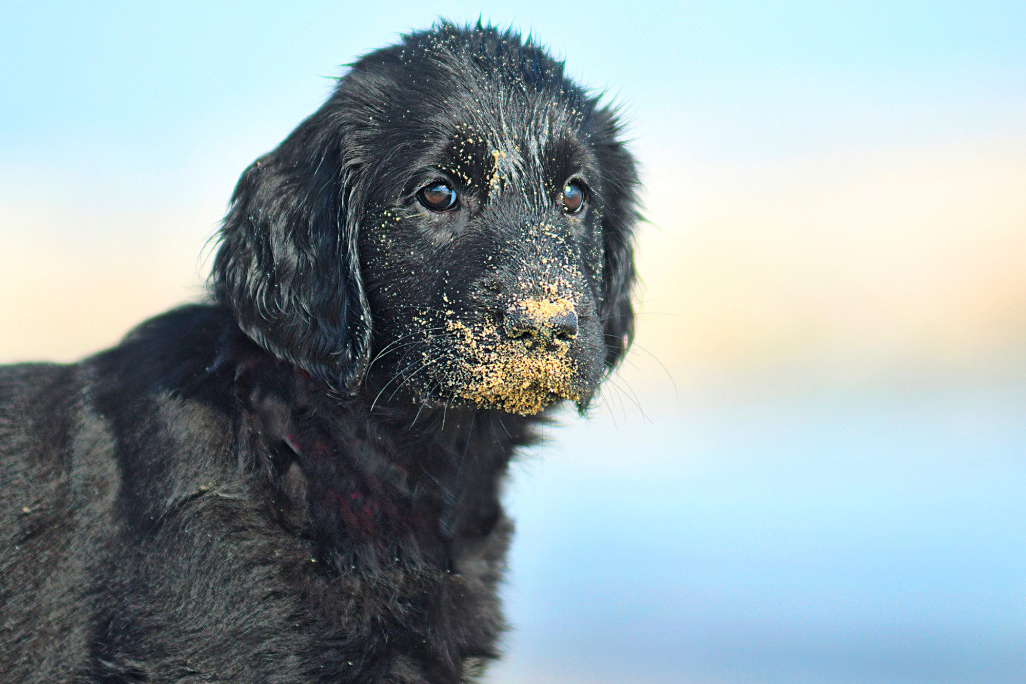 Black Flat-Coated Retriever puppy with sand on his muzzle
