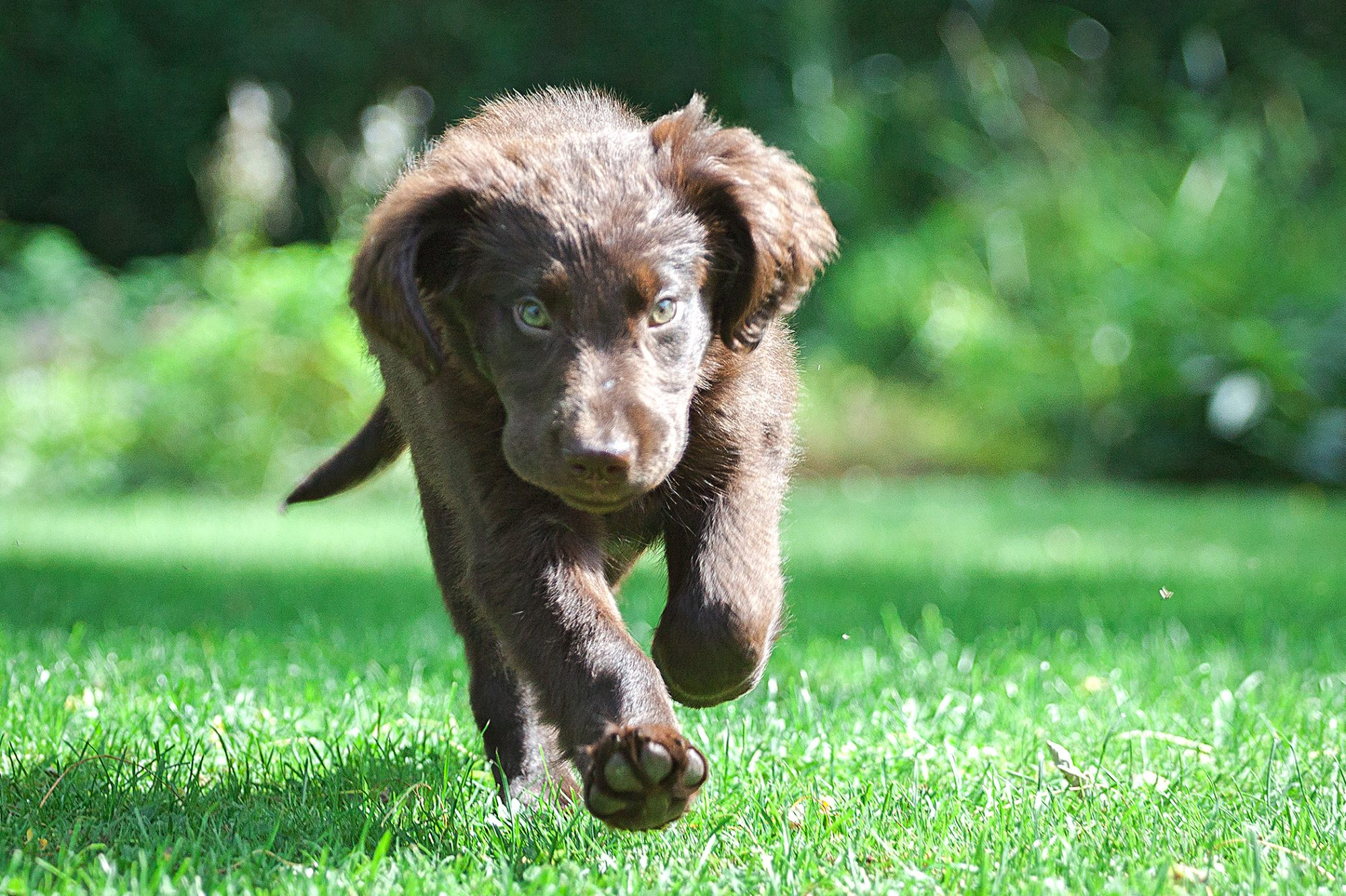 Brown Flat-Coated Retriever puppy running in the grass