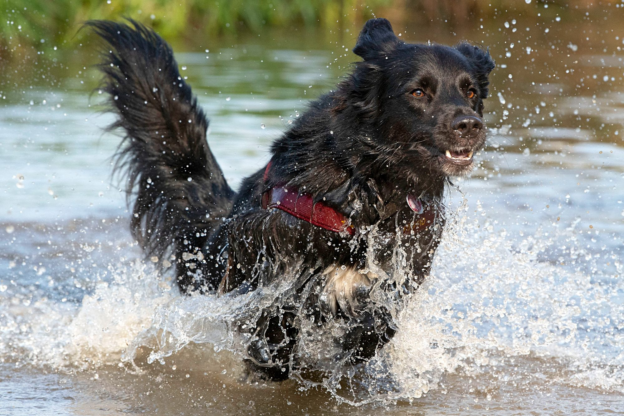 Black Flat-Coated Retriever running in the water