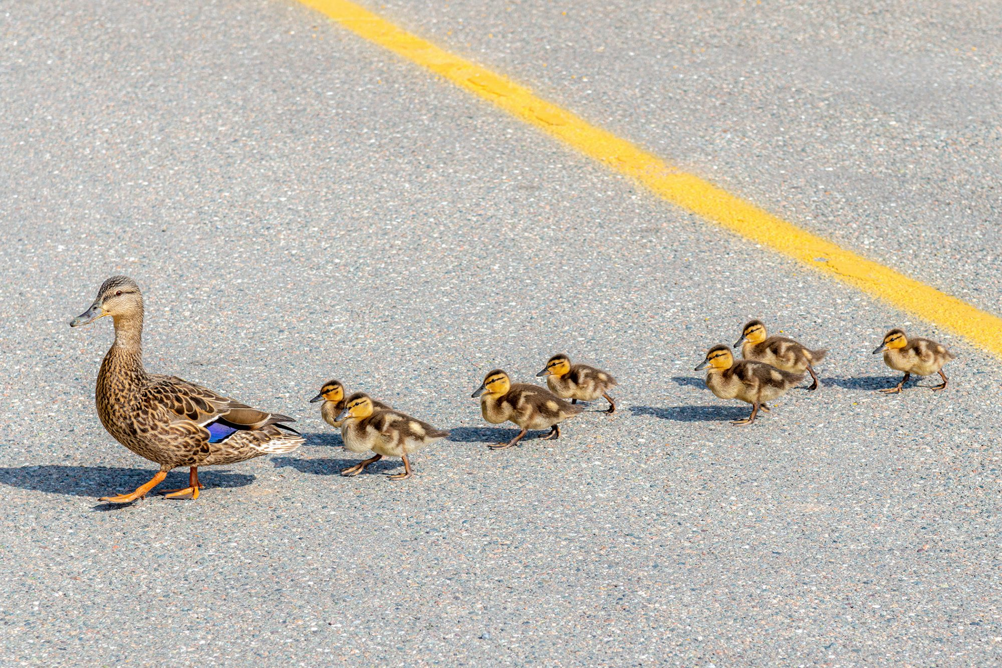 mother duck leading a trail of ducklings across the street