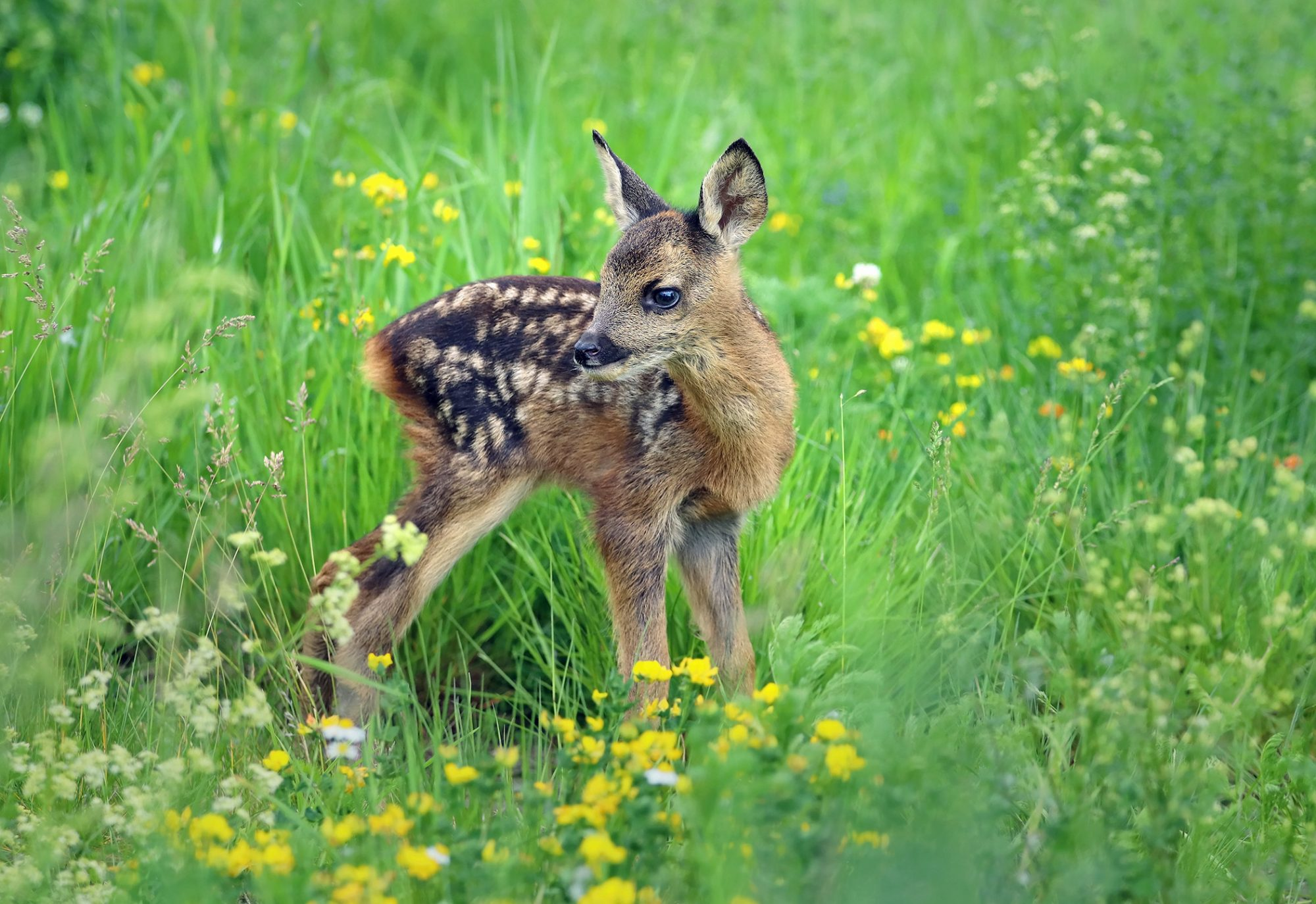 very young fawn standing in grass