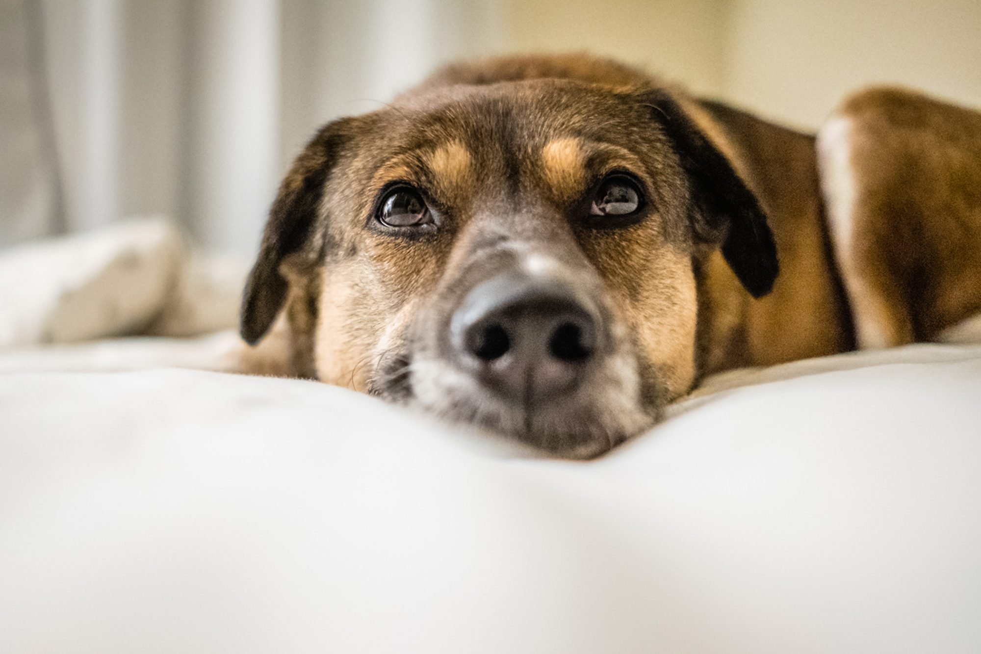 dog lying in bed looking up