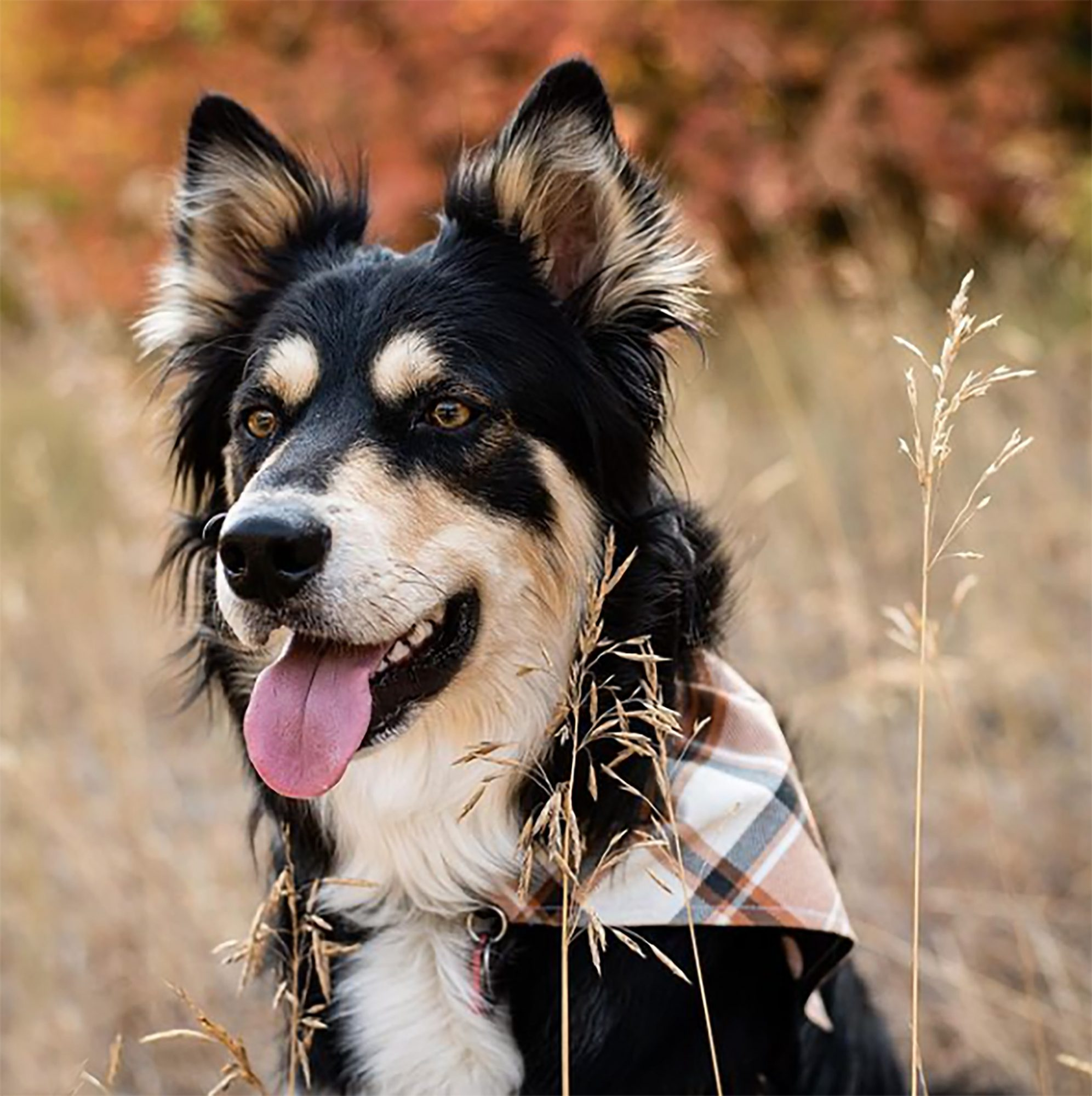 Ausky with Husky face and Aussie coat