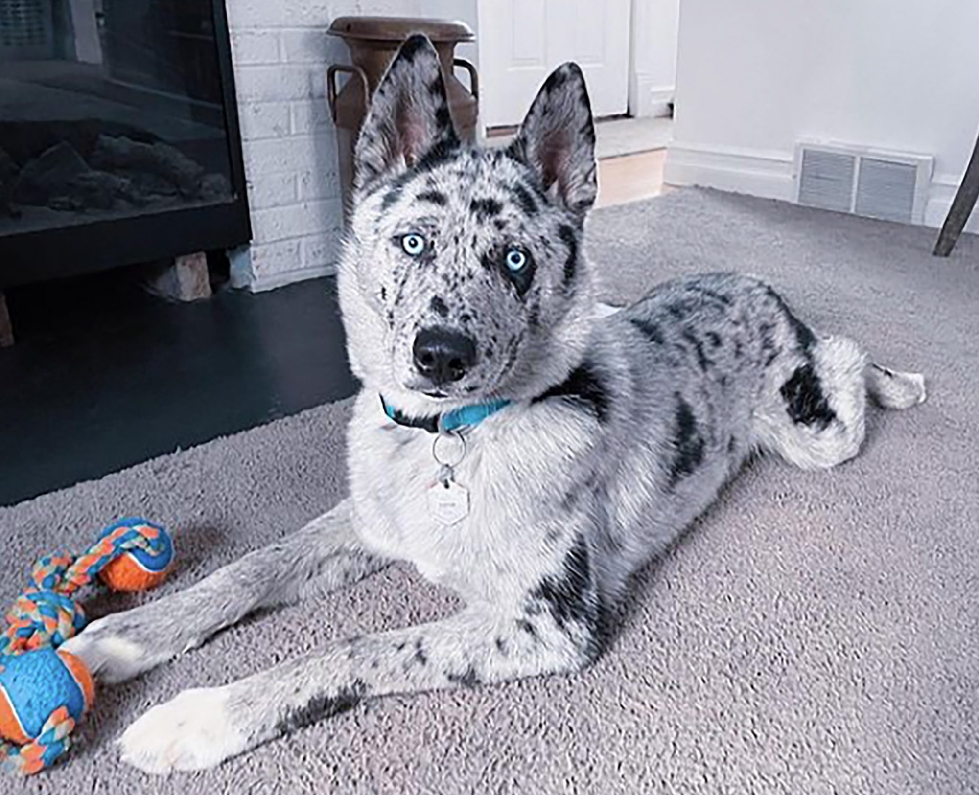 Ausky with Aussie markings and Husky eyes