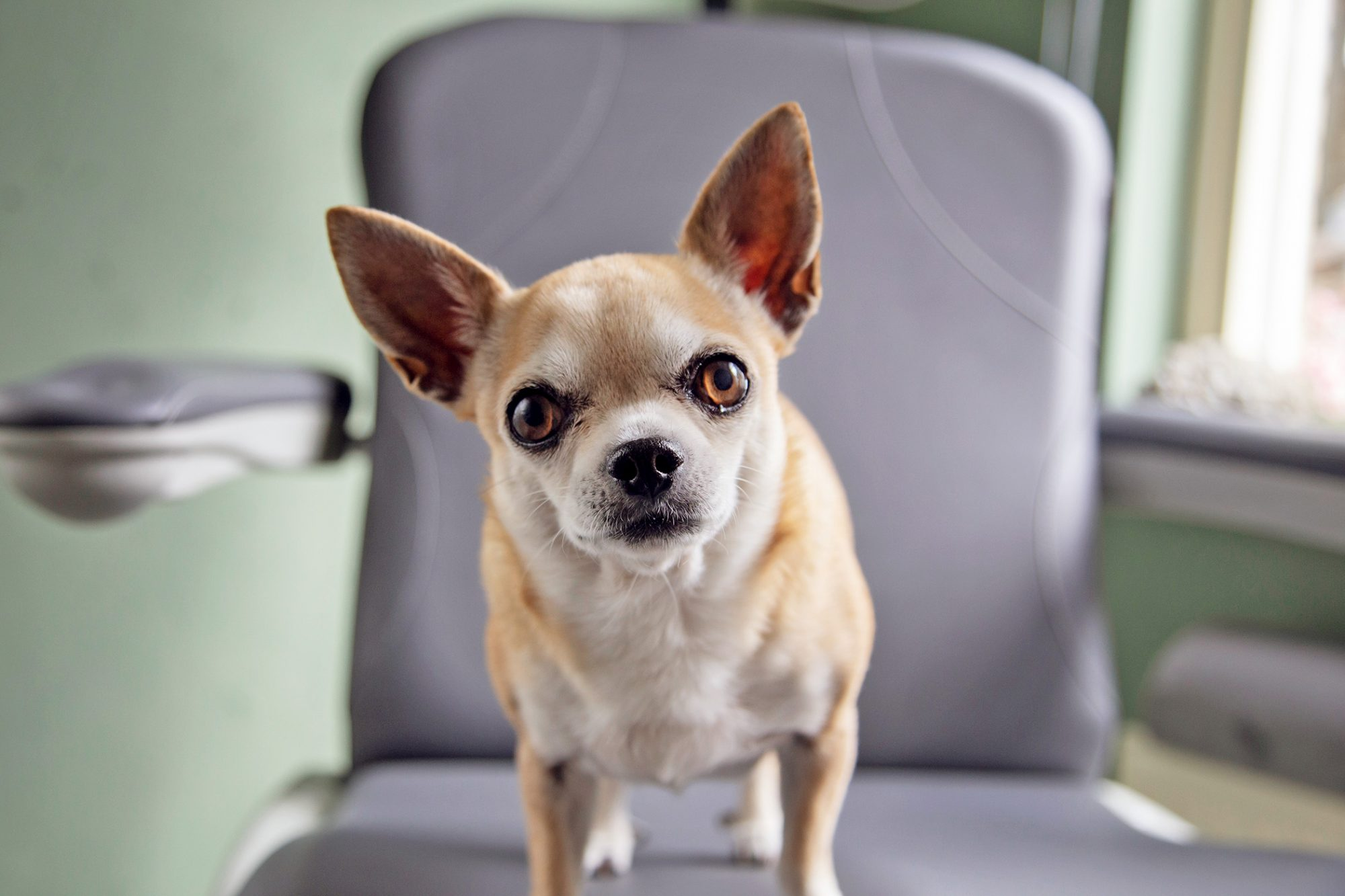 Chihuahua standing in an office chair