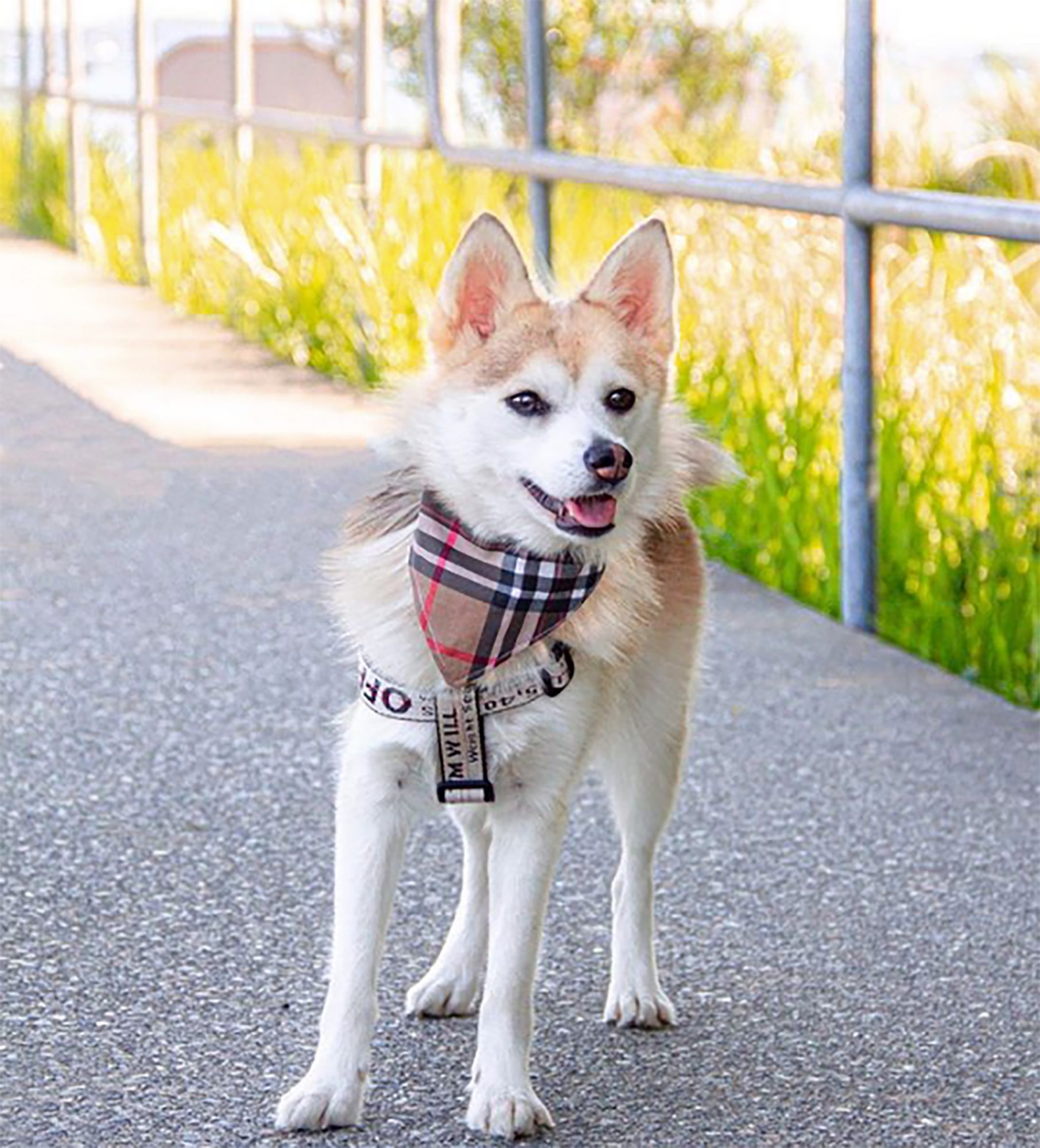 Pomsky with Husky body and Pomeranian face and coloring