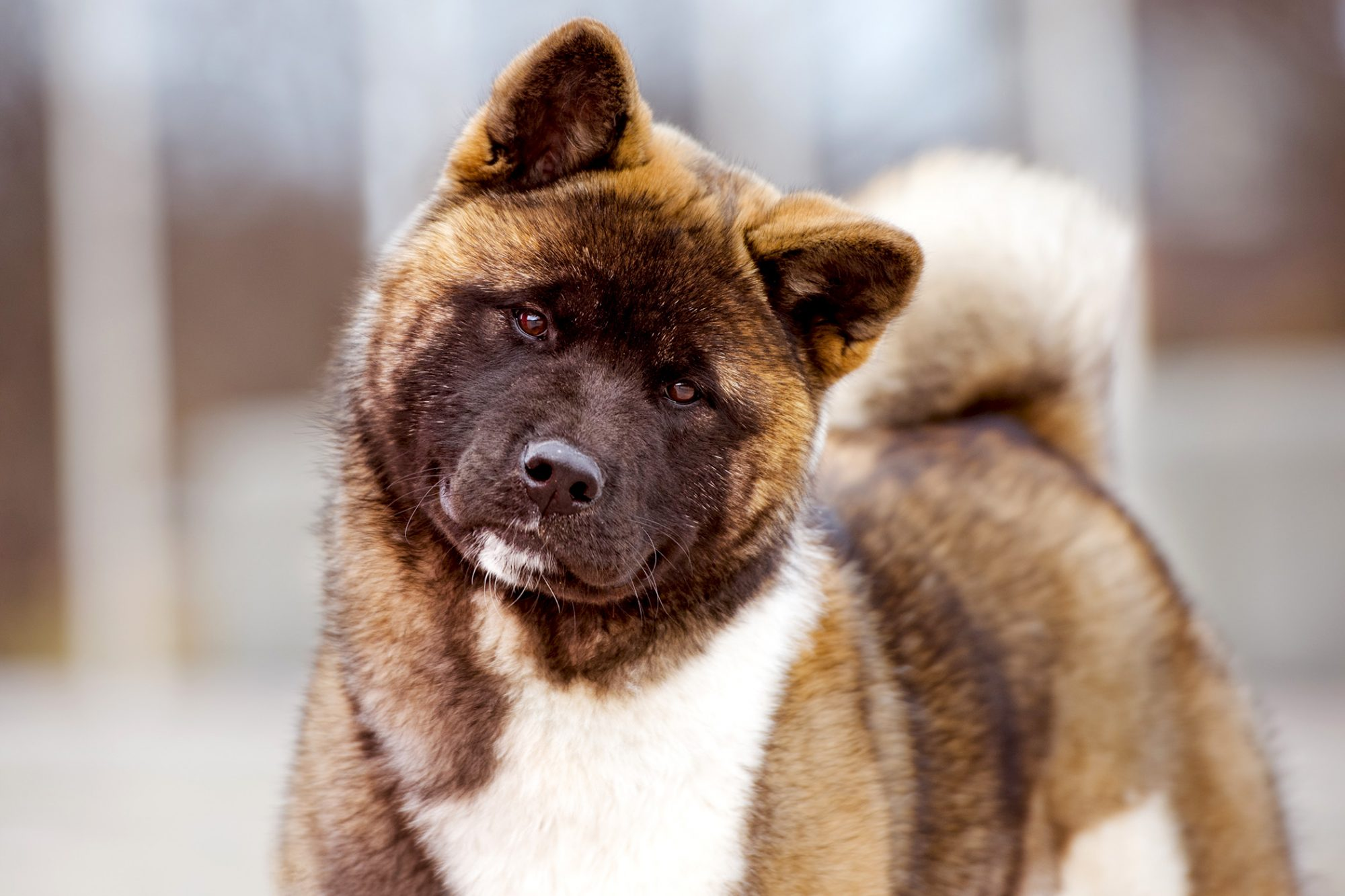 Brown and White Akita with his head tilted