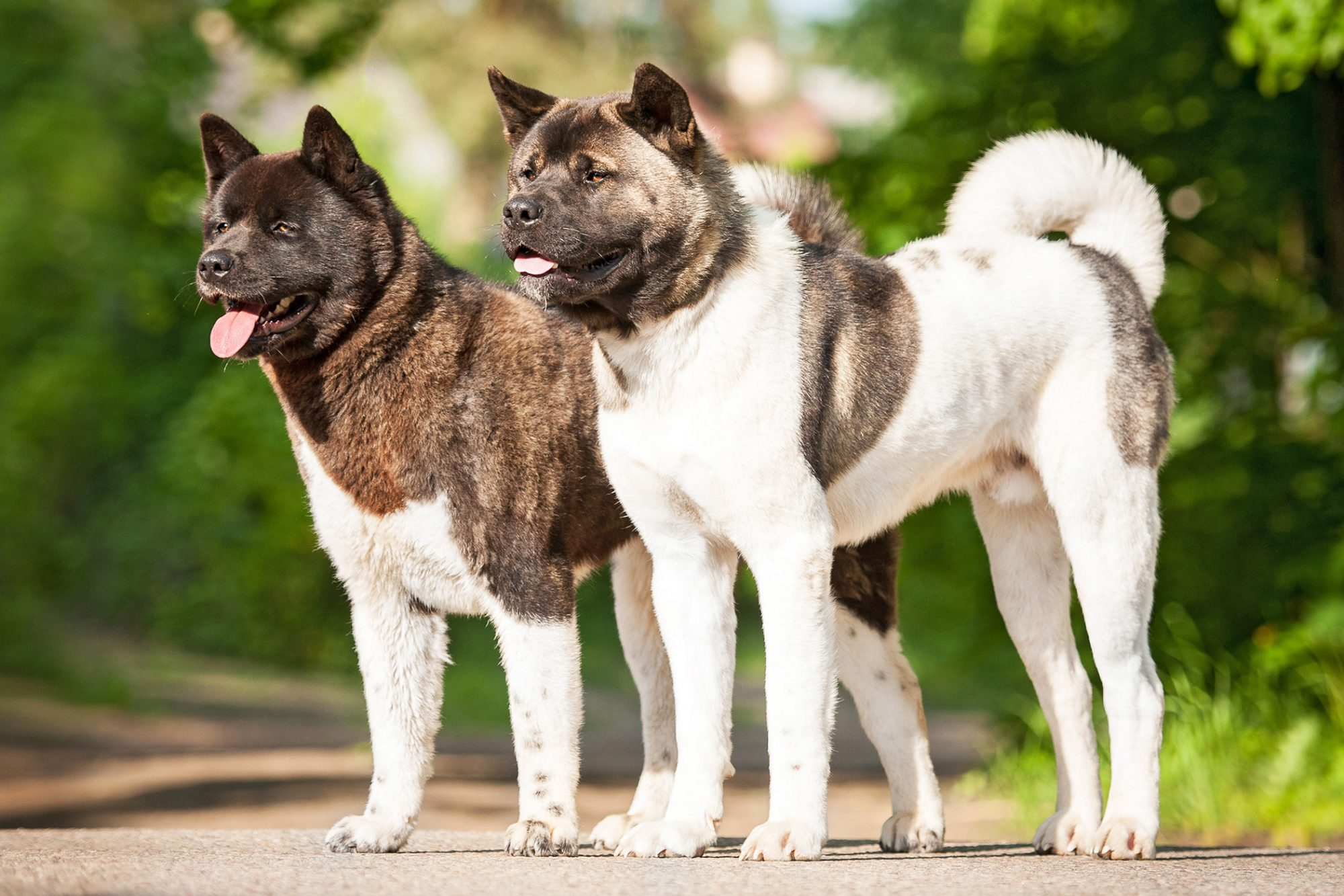 Two Brown and White Akita dogs standing side by side