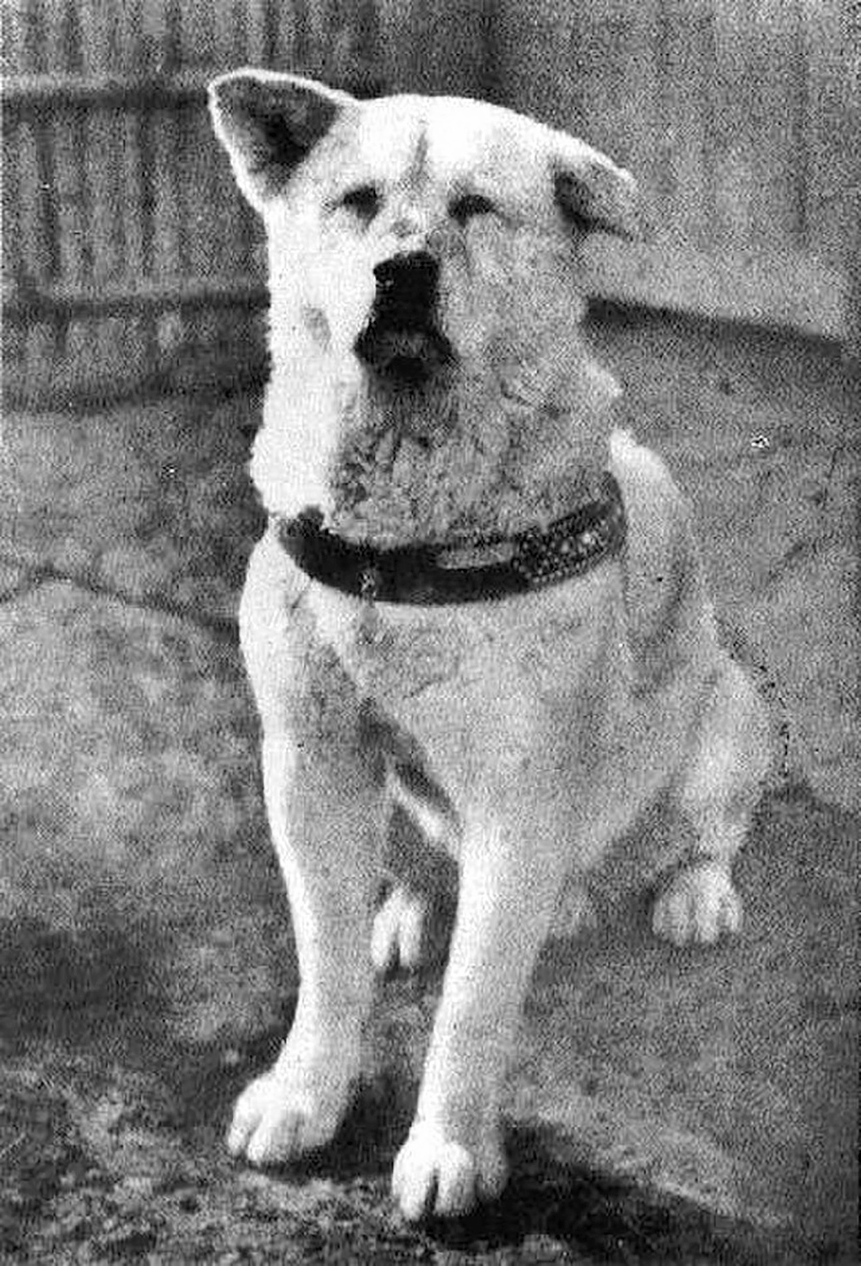 Hachikō (1935) was a Japanese Akita dog remembered for his remarkable loyalty to his owner for whom he continued to wait for over nine years following Ueno's death