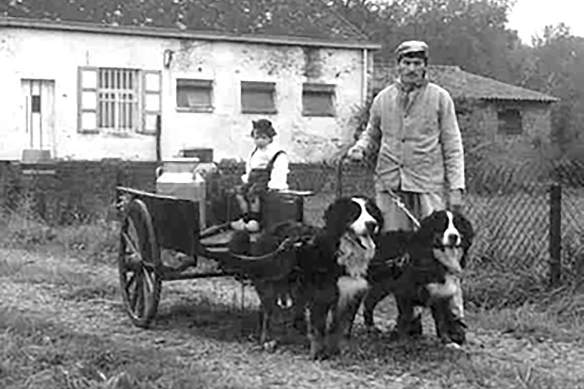 vintage image of two Bernese Mountain dogs pulling a cart