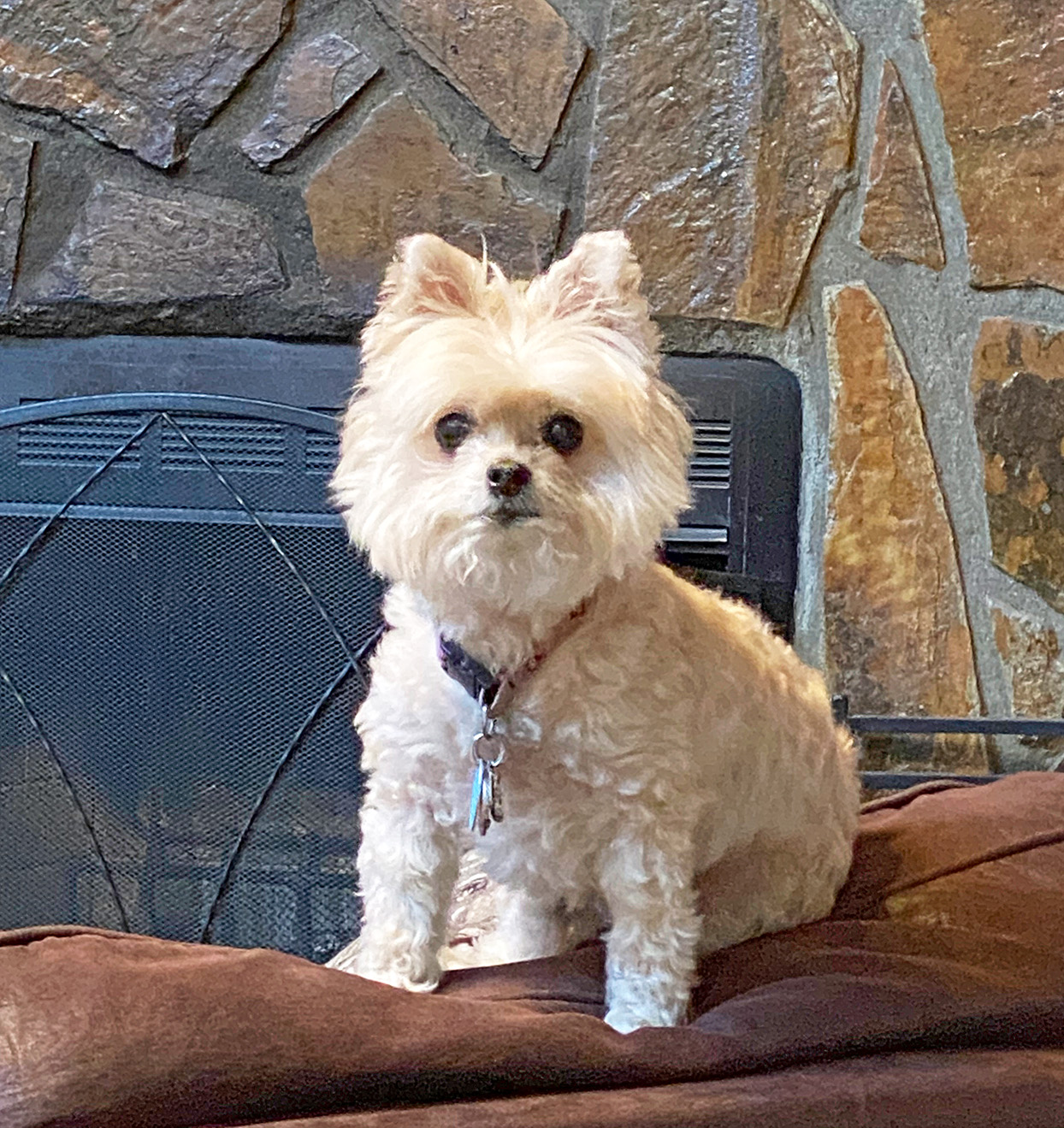 Blonde Pomapoo sitting in front of fireplace