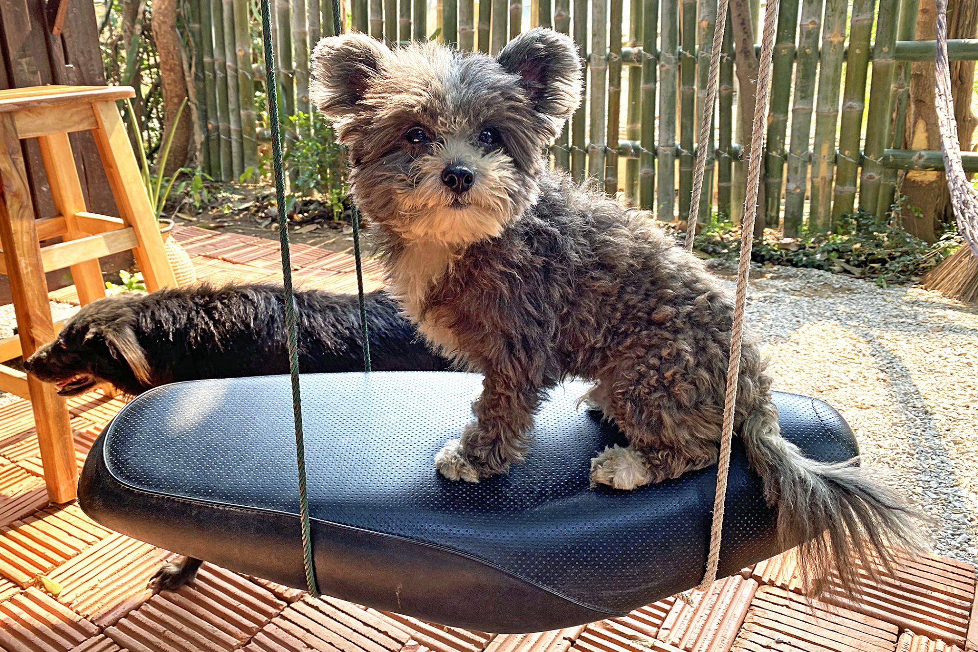 Grey and white Pomapoo sitting on swing