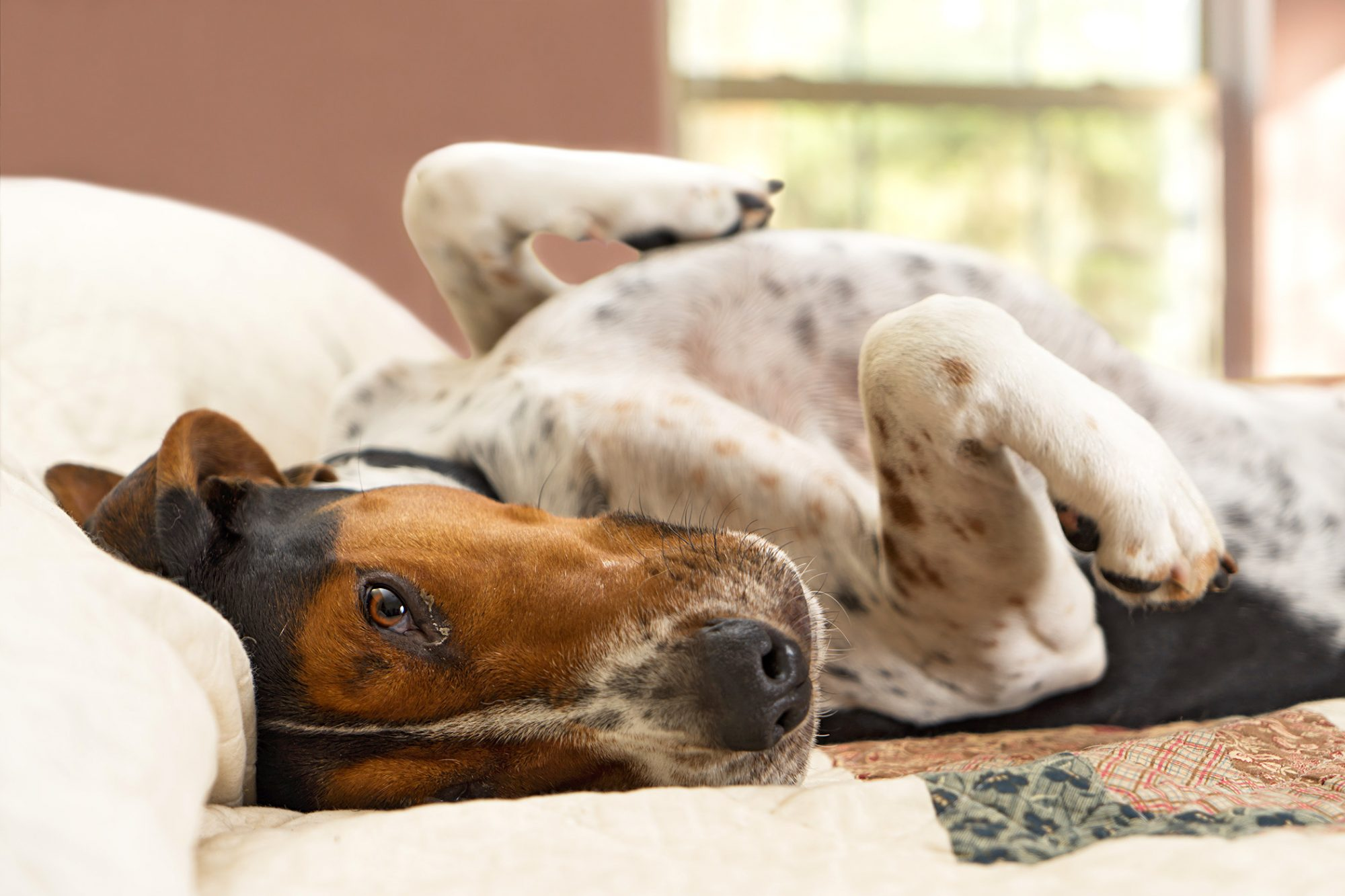 Treeing Walker Coonhound on lying on his back on a bed