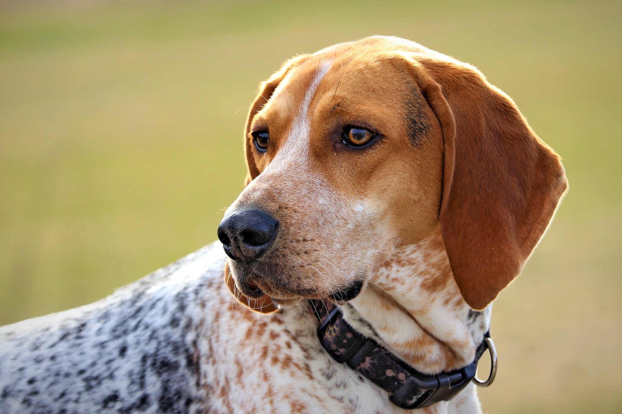 Treeing Walker Coonhound close up profile