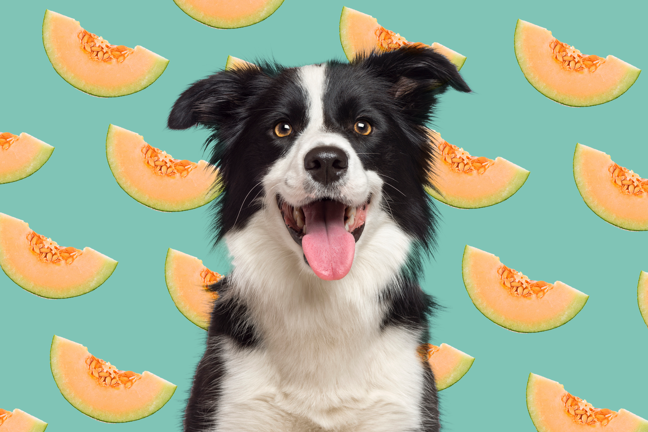 dog in front of a background of cut cantaloupe