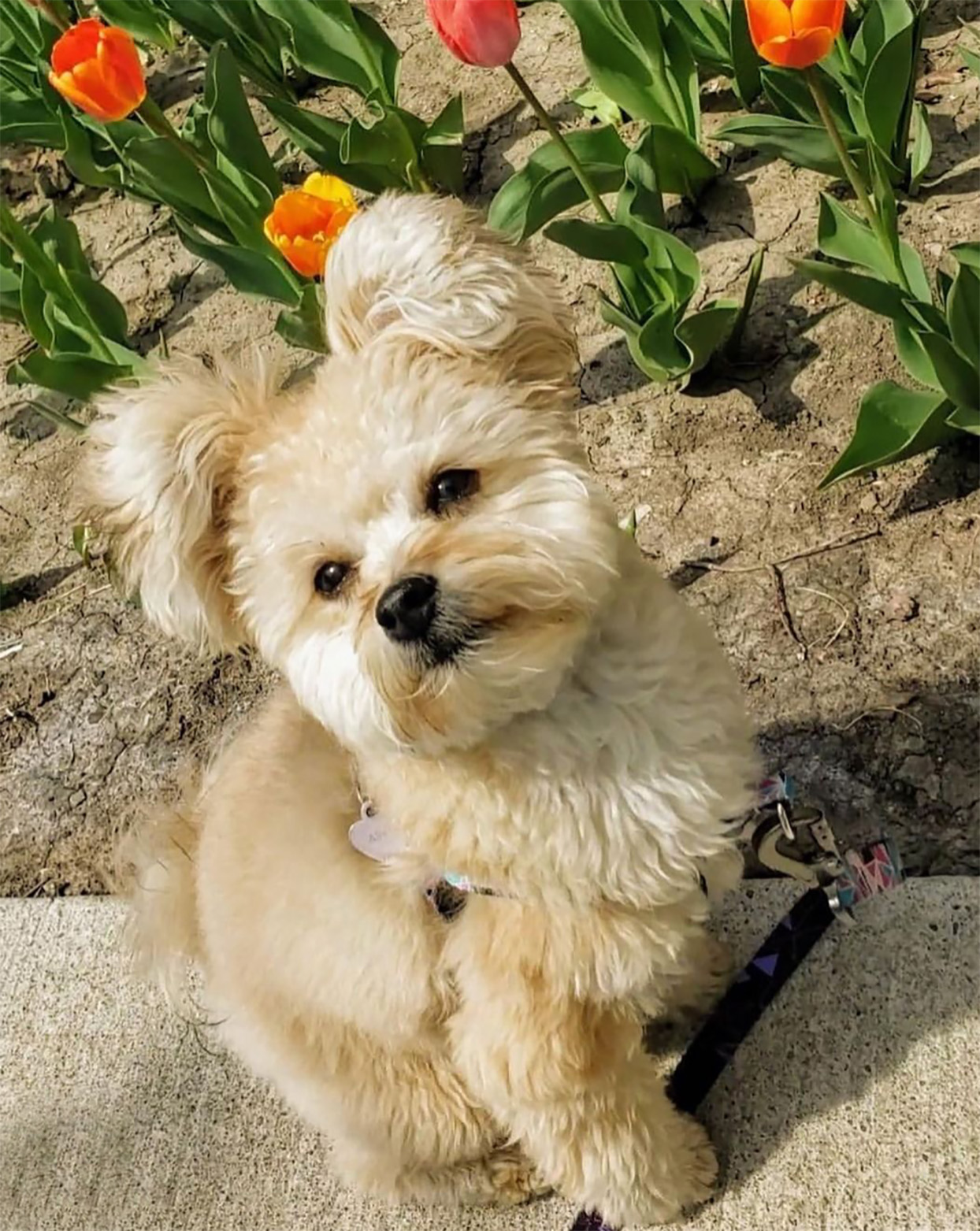 Pomapoo standing in front of tulips