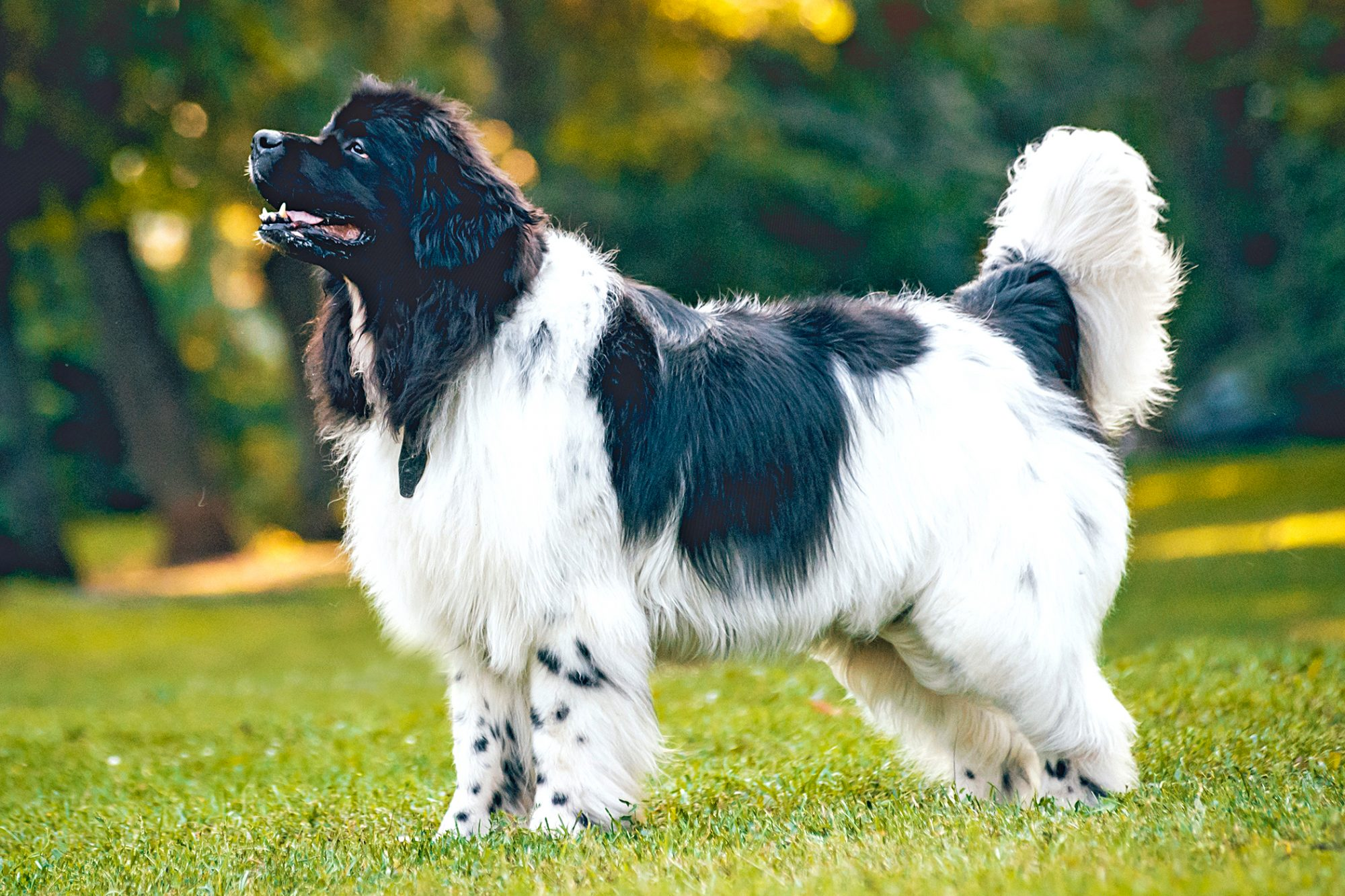 black and white newfoundland in grass