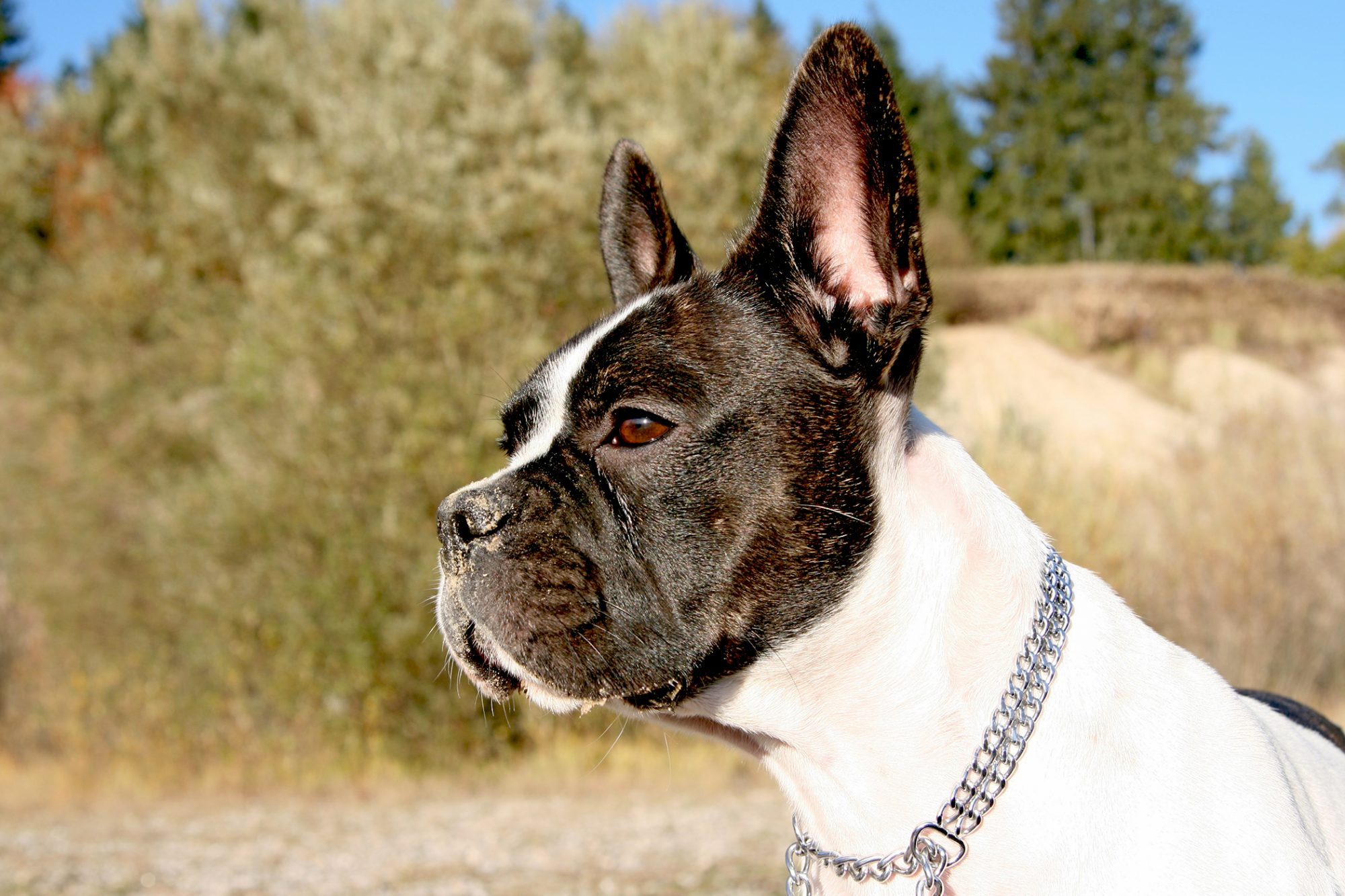 frenchton outside wearing chain collar