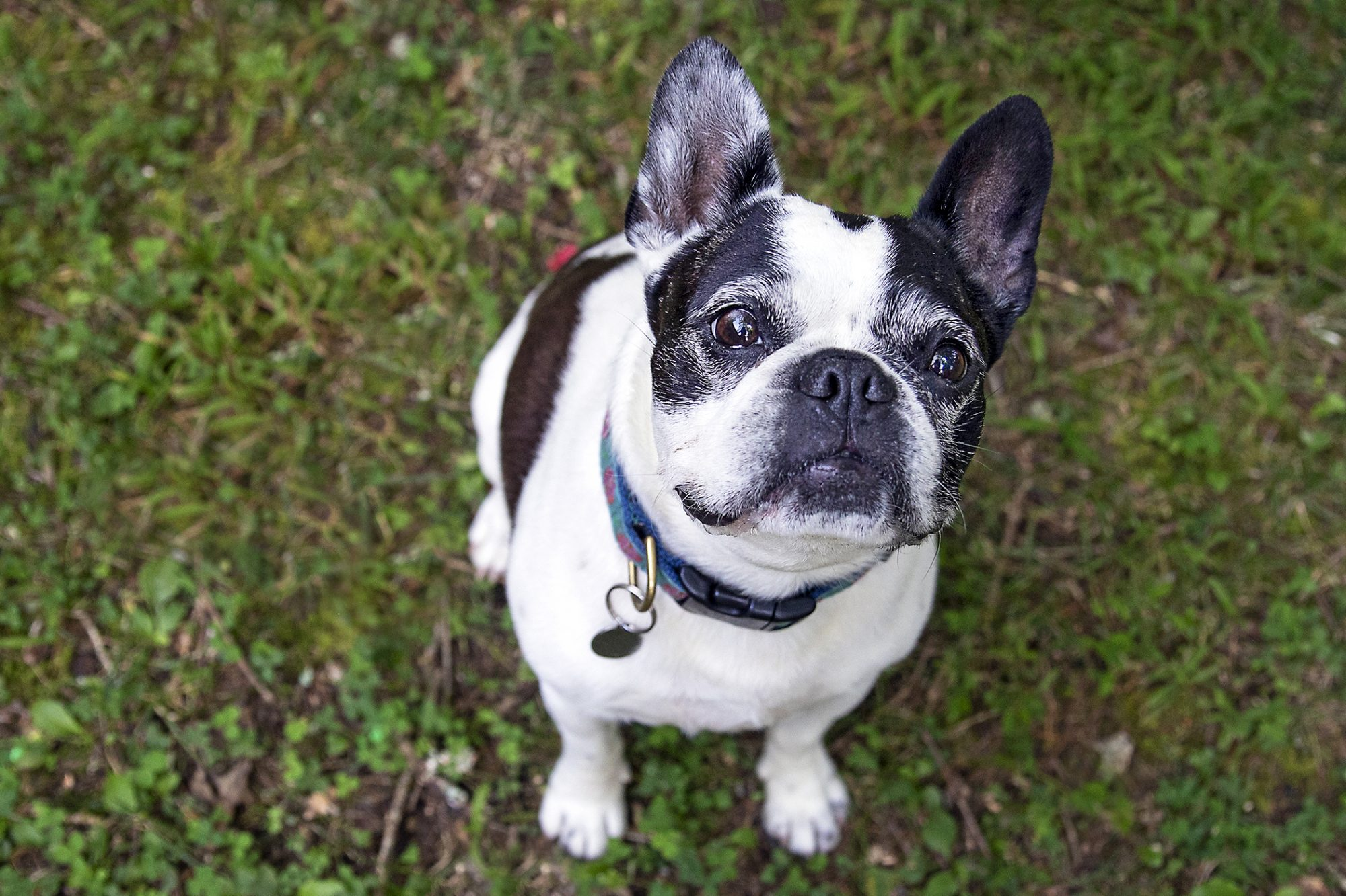 frenchton from above sitting on grass