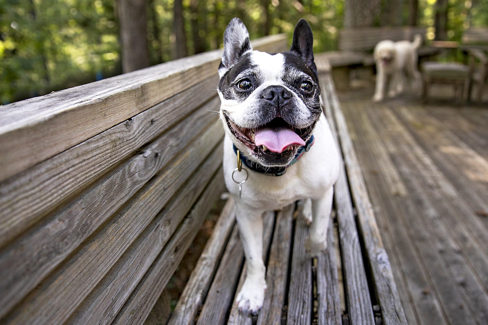 frenchton walking on wooden bench