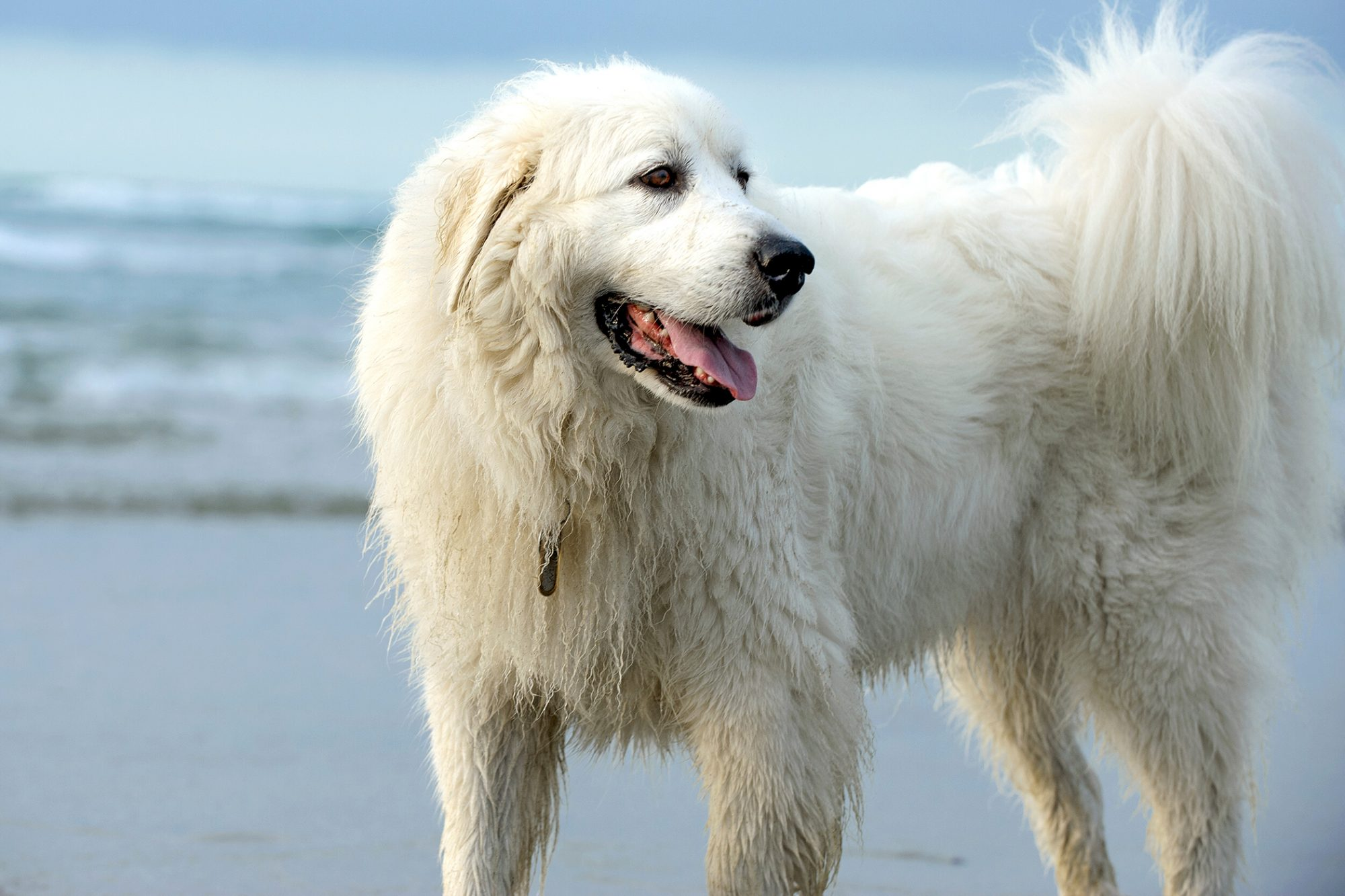 great pyrenees on beach