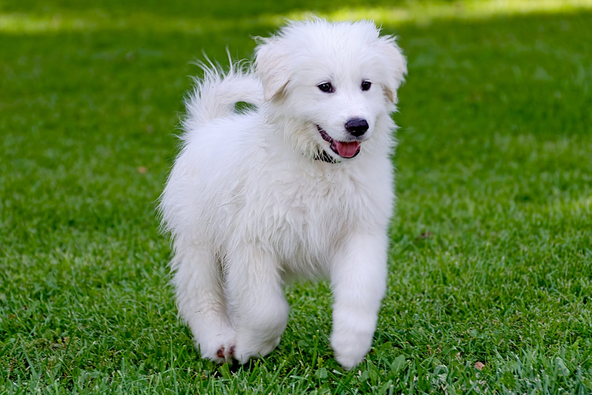 great pyrenees puppy running in grass