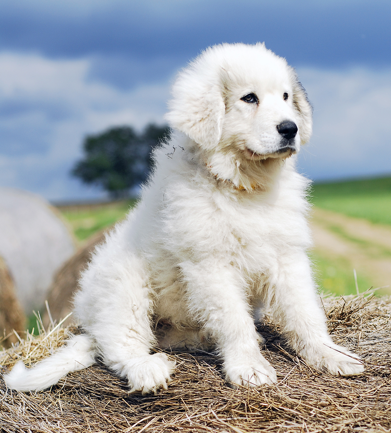 great pyrenees puppy sitting on straw