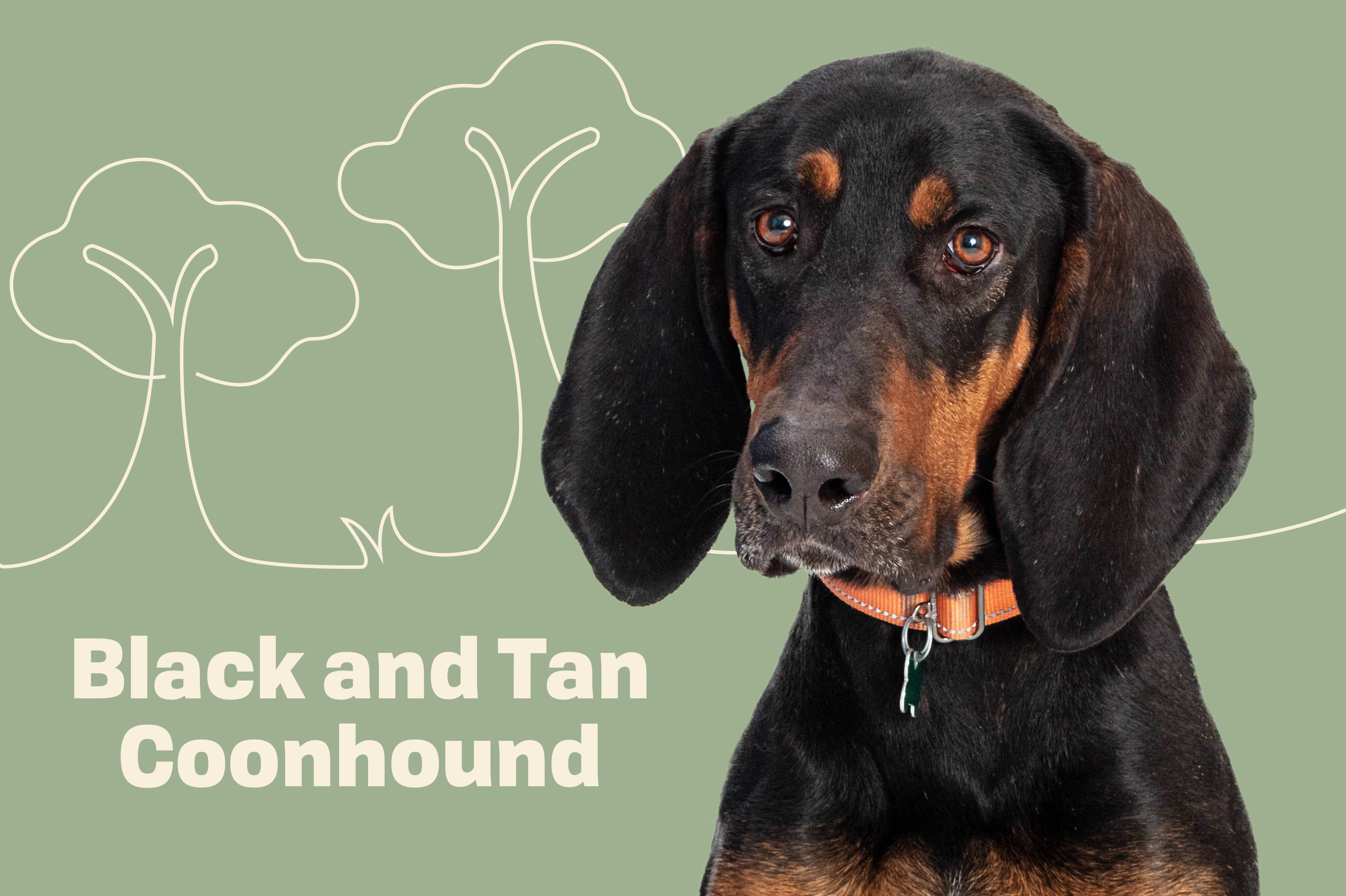 black and tan coonhound profile treatment