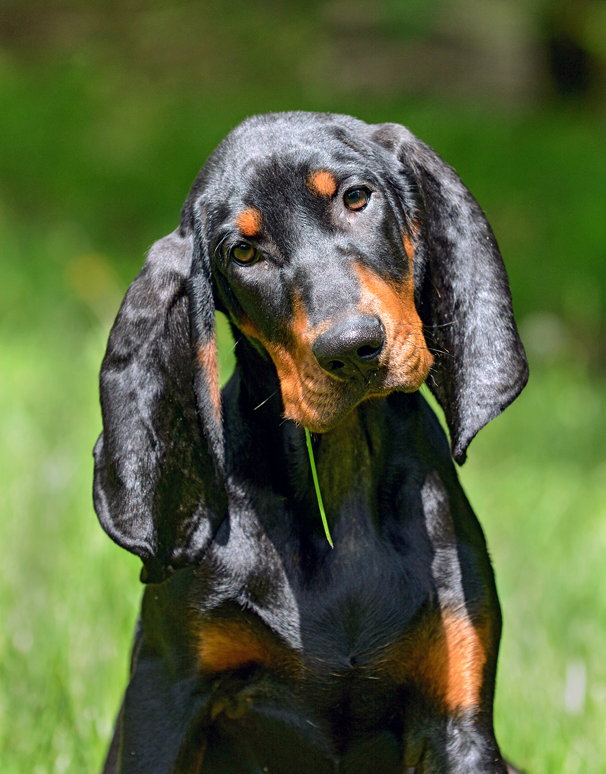 black and tan coonhound head tilted