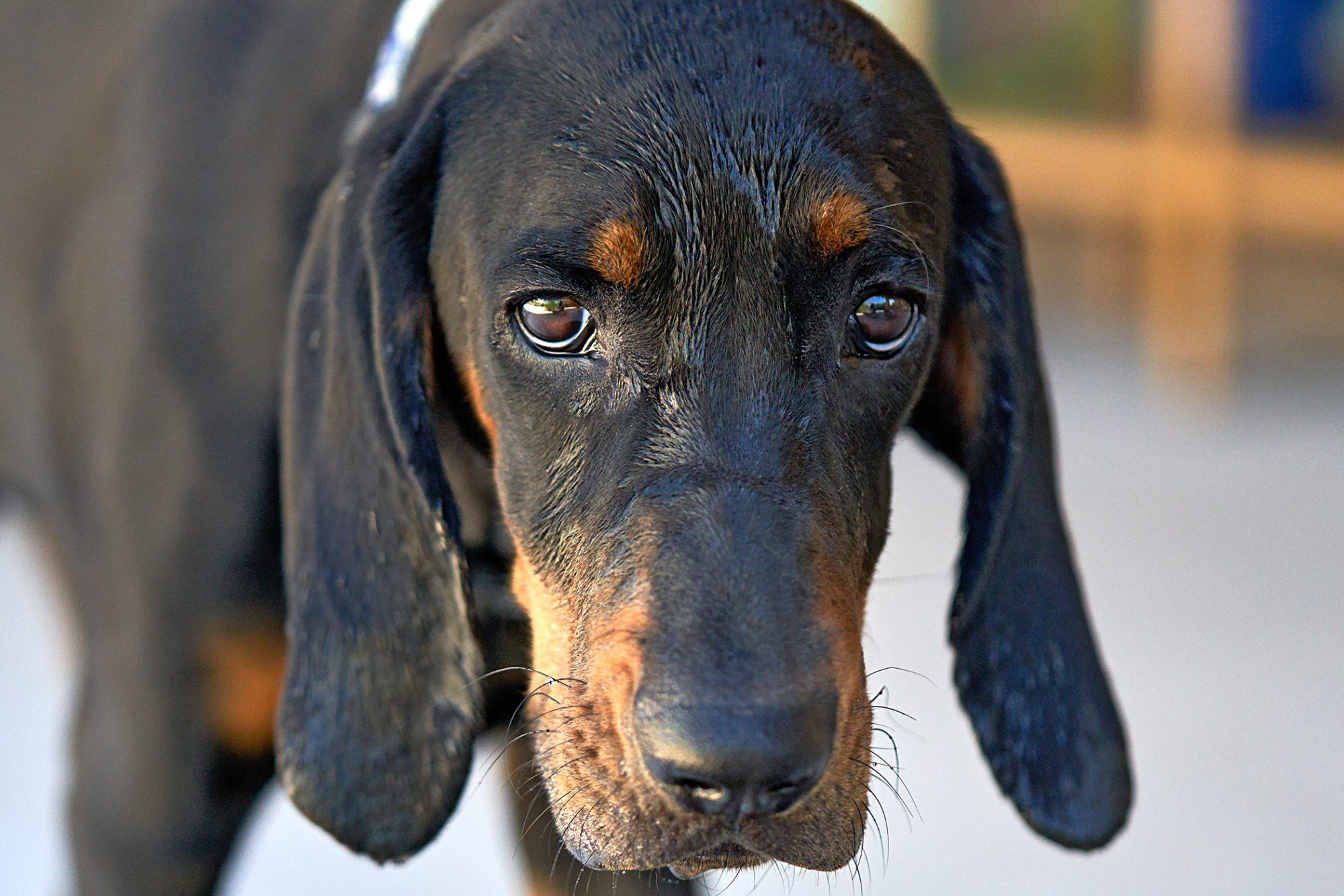 black and tan coonhound close up with sad face