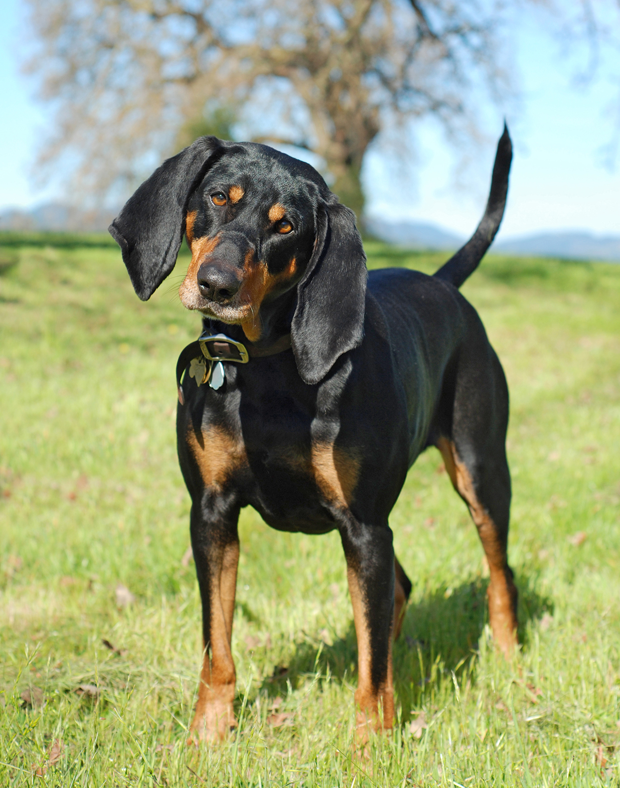black and tan coonhound standing in grass head tilted