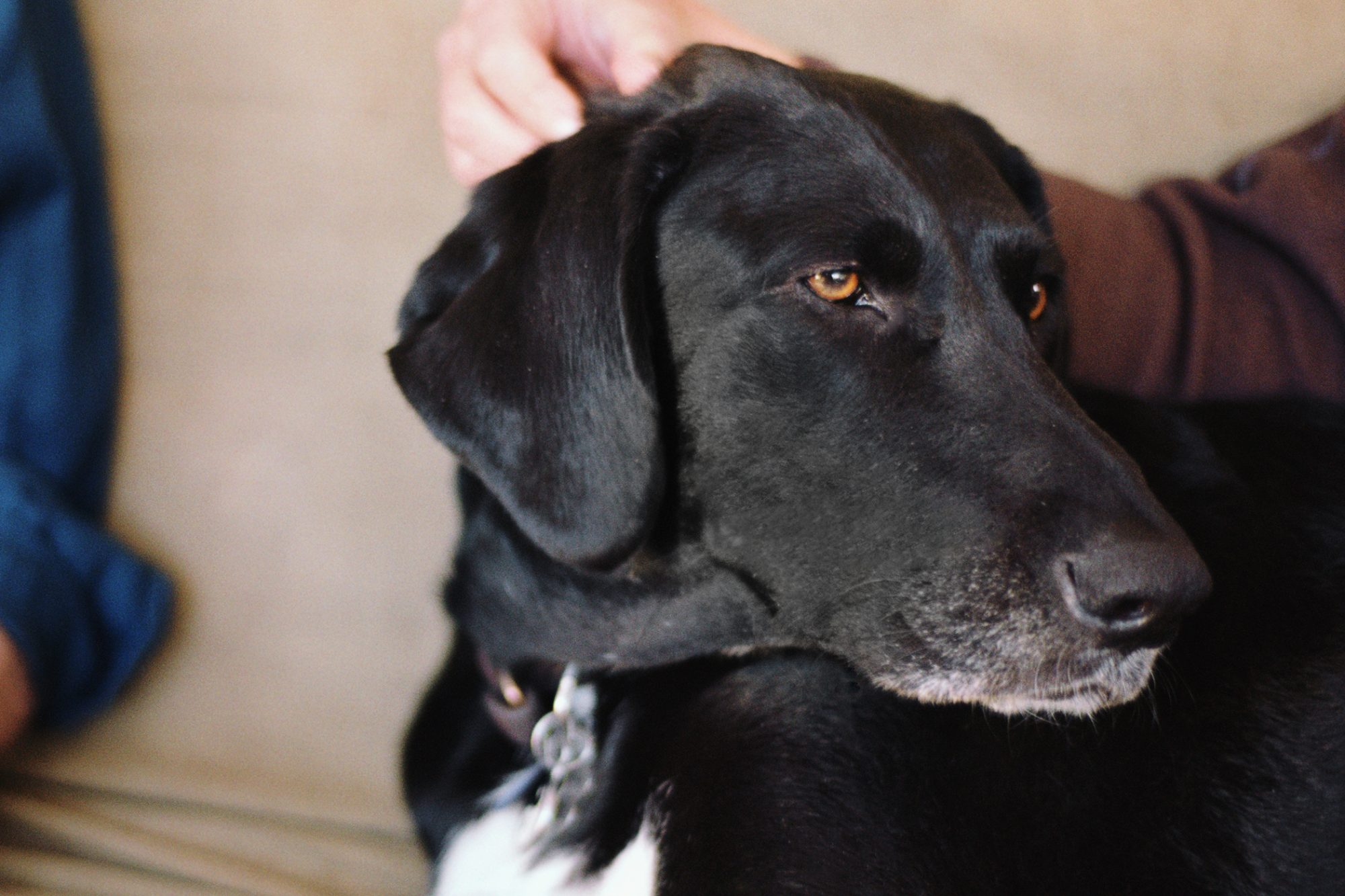Black Lab dog getting petted