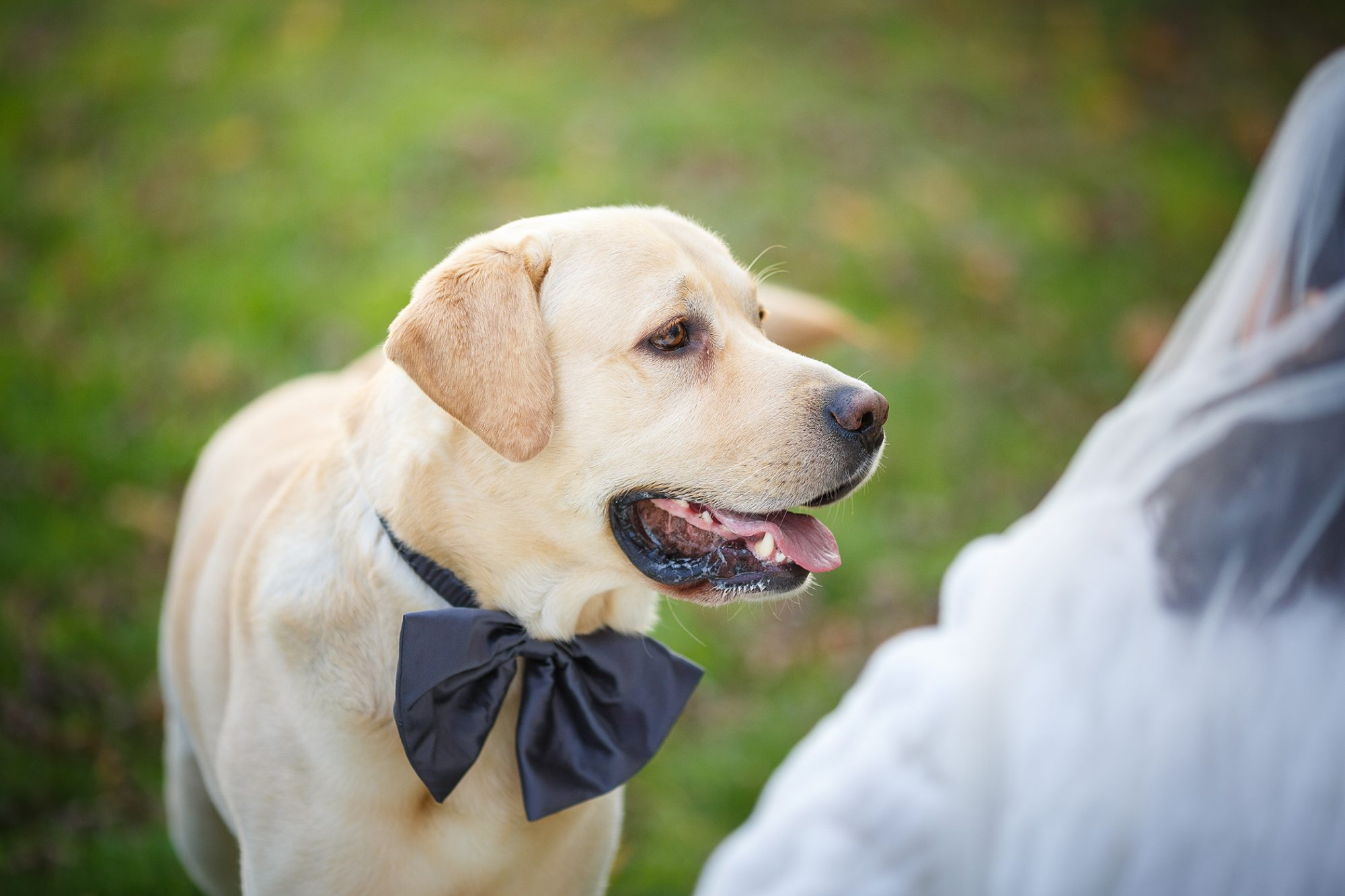 golden lab wearing a black bow tie looking up at bride