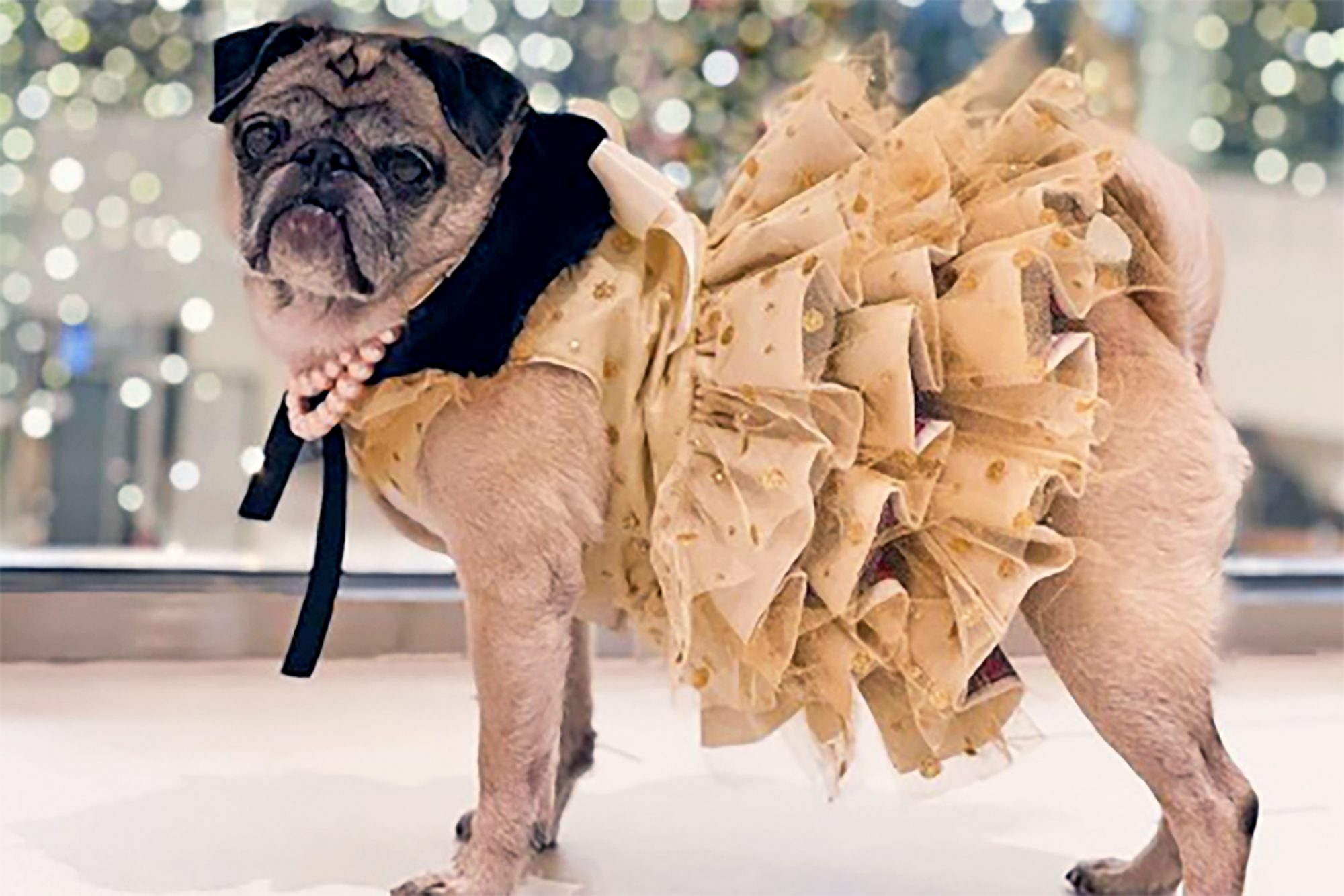 Miss Pickles the pug modeling and frilly dress and pearls