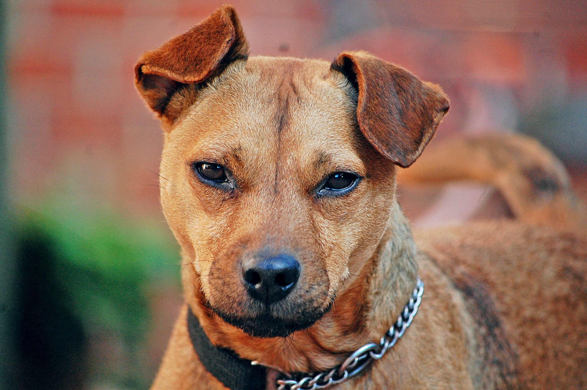 Brown Patterdale terrier close up