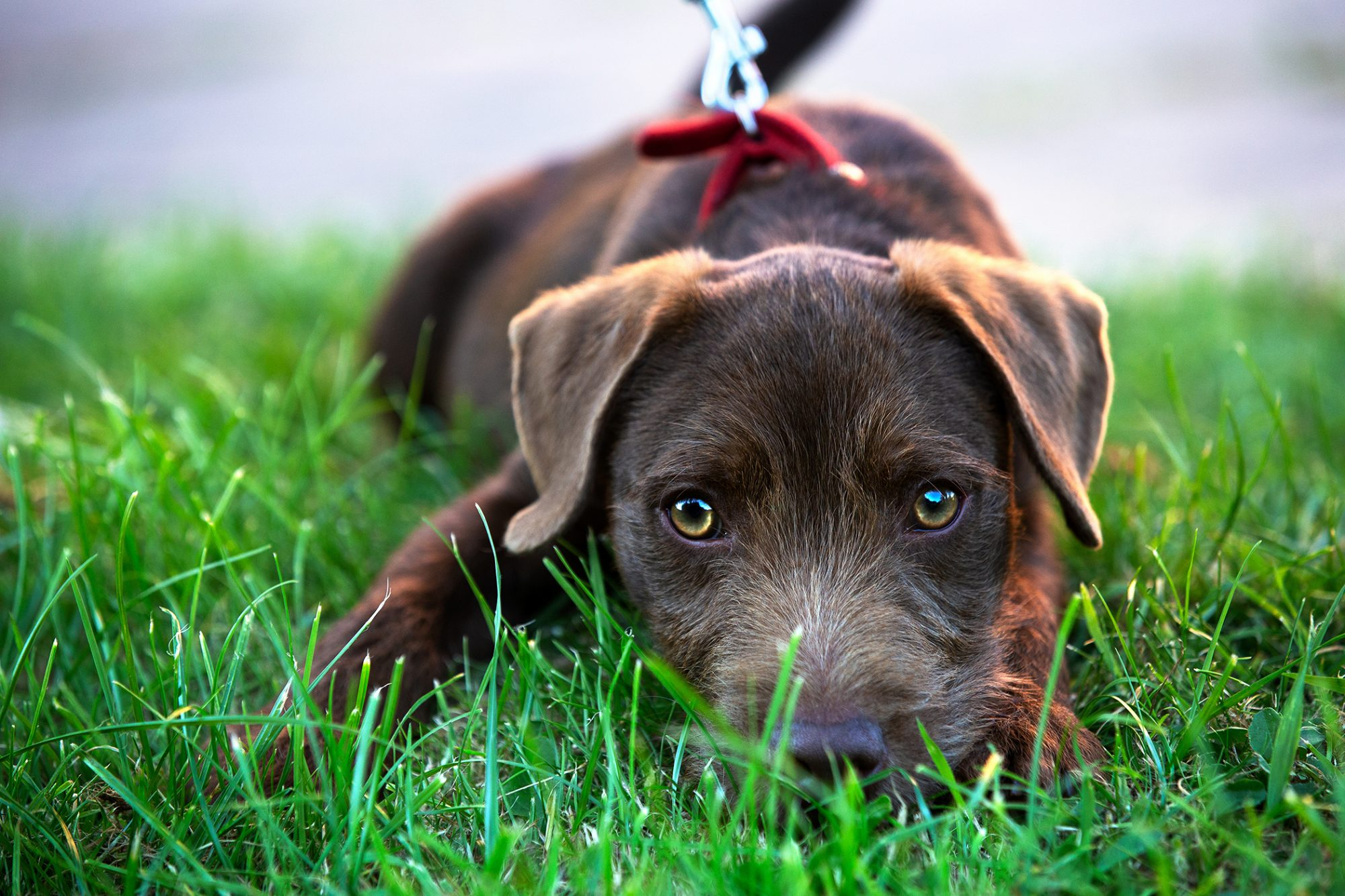 Brown Patterdale looking up in grass
