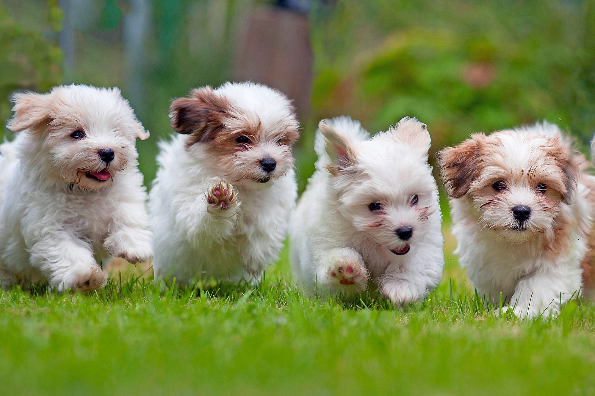 four havanese puppies running in a row