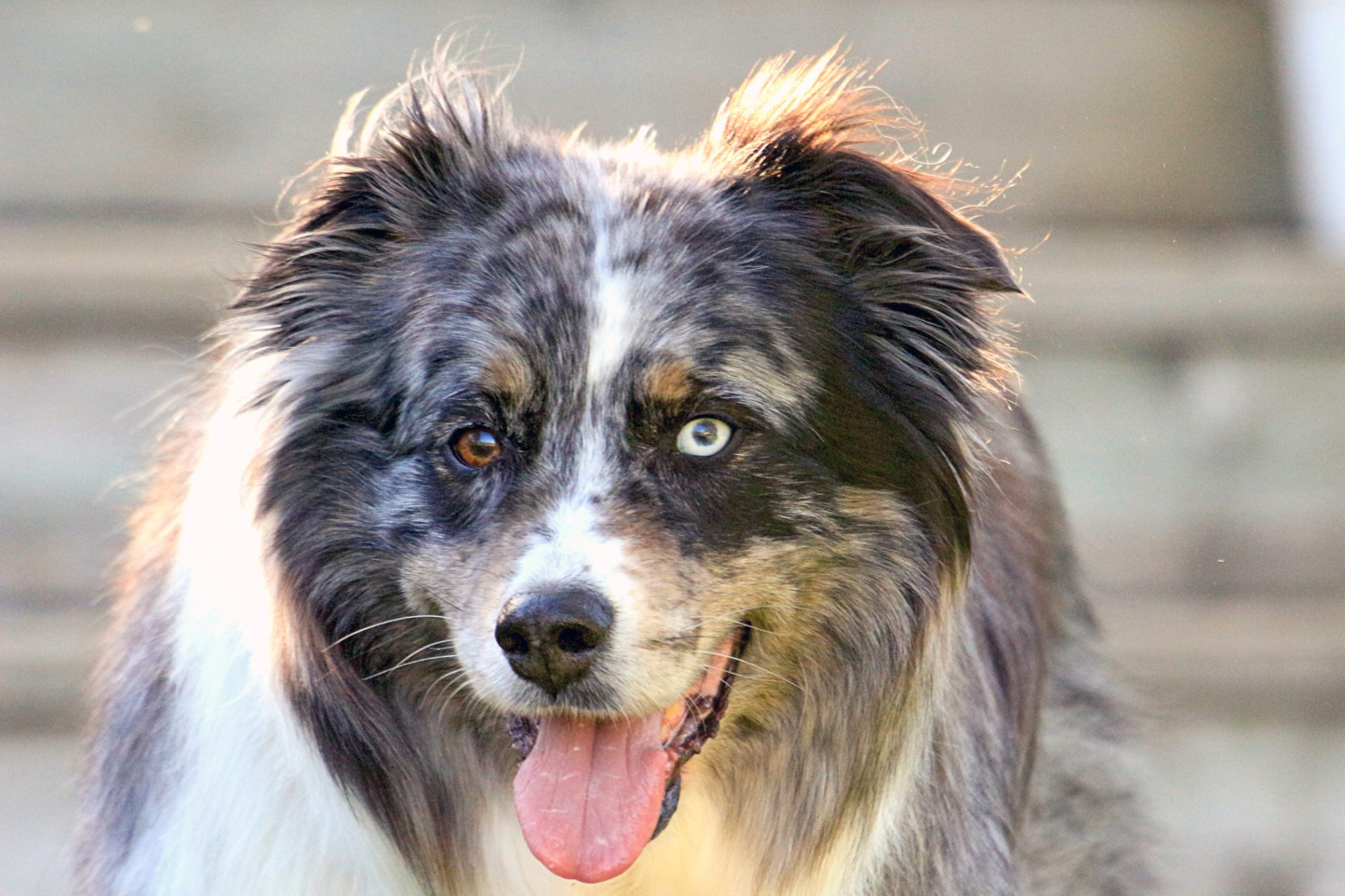 miniature american shepherd with tongue out closeup