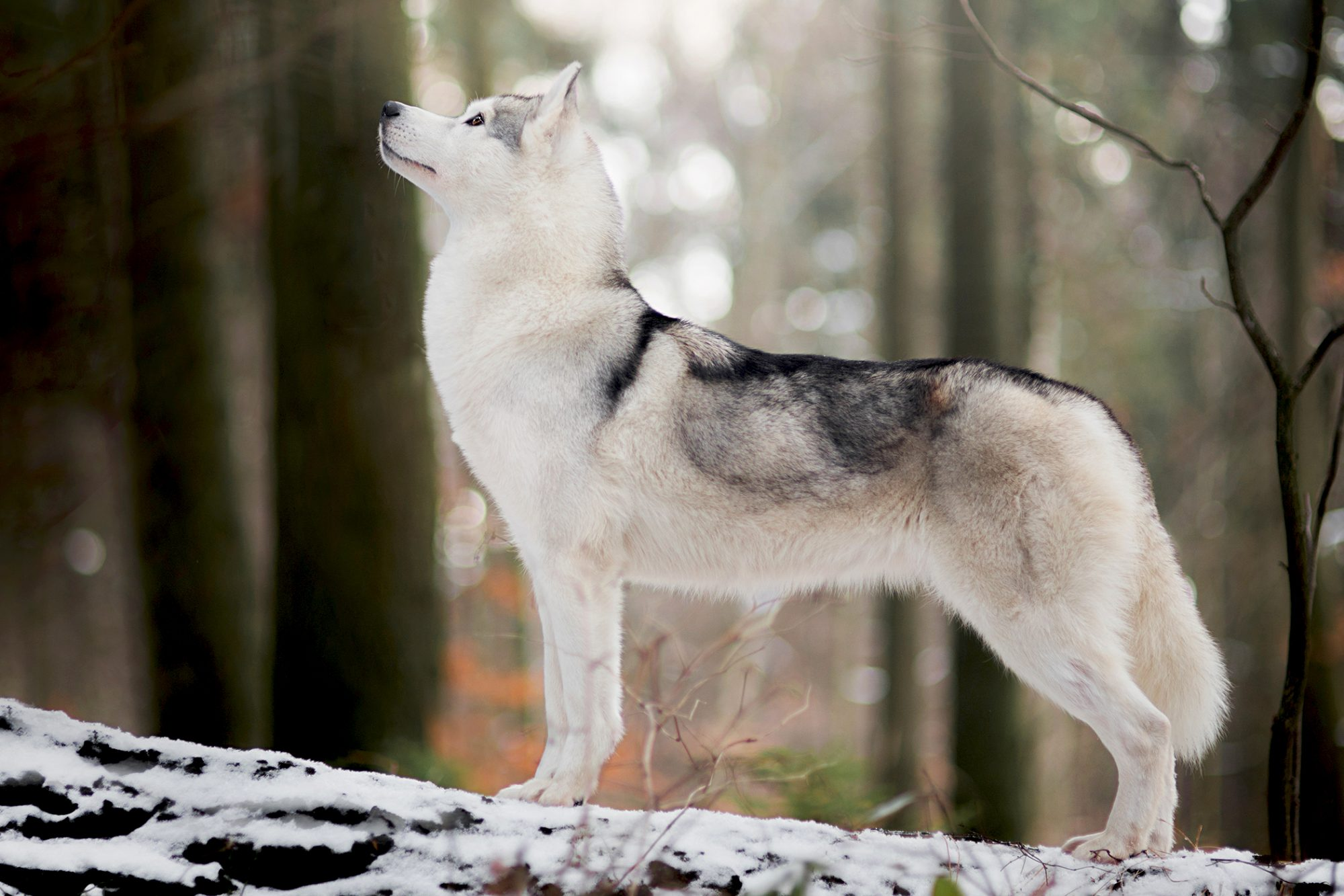 siberian husky standing in snowy forest