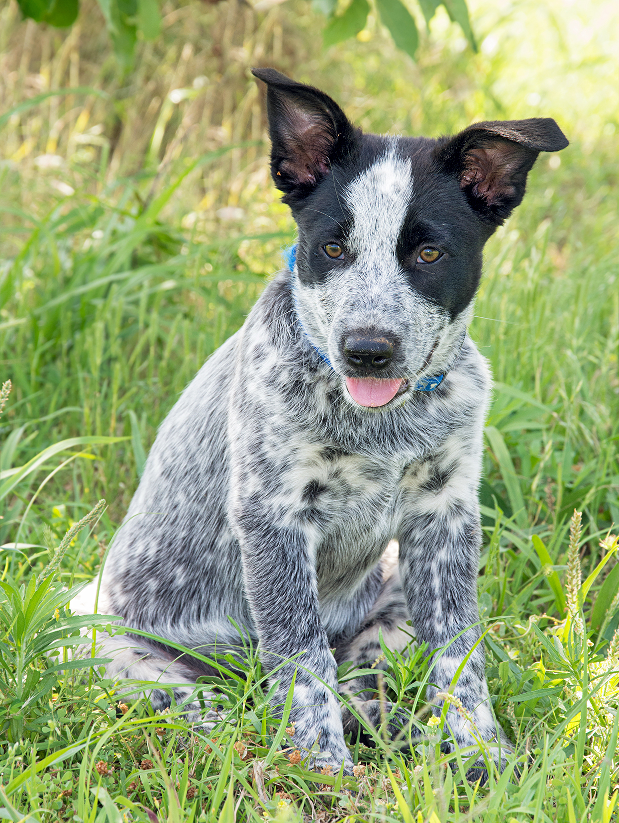 black and gray texas heeler puppy sitting in grass