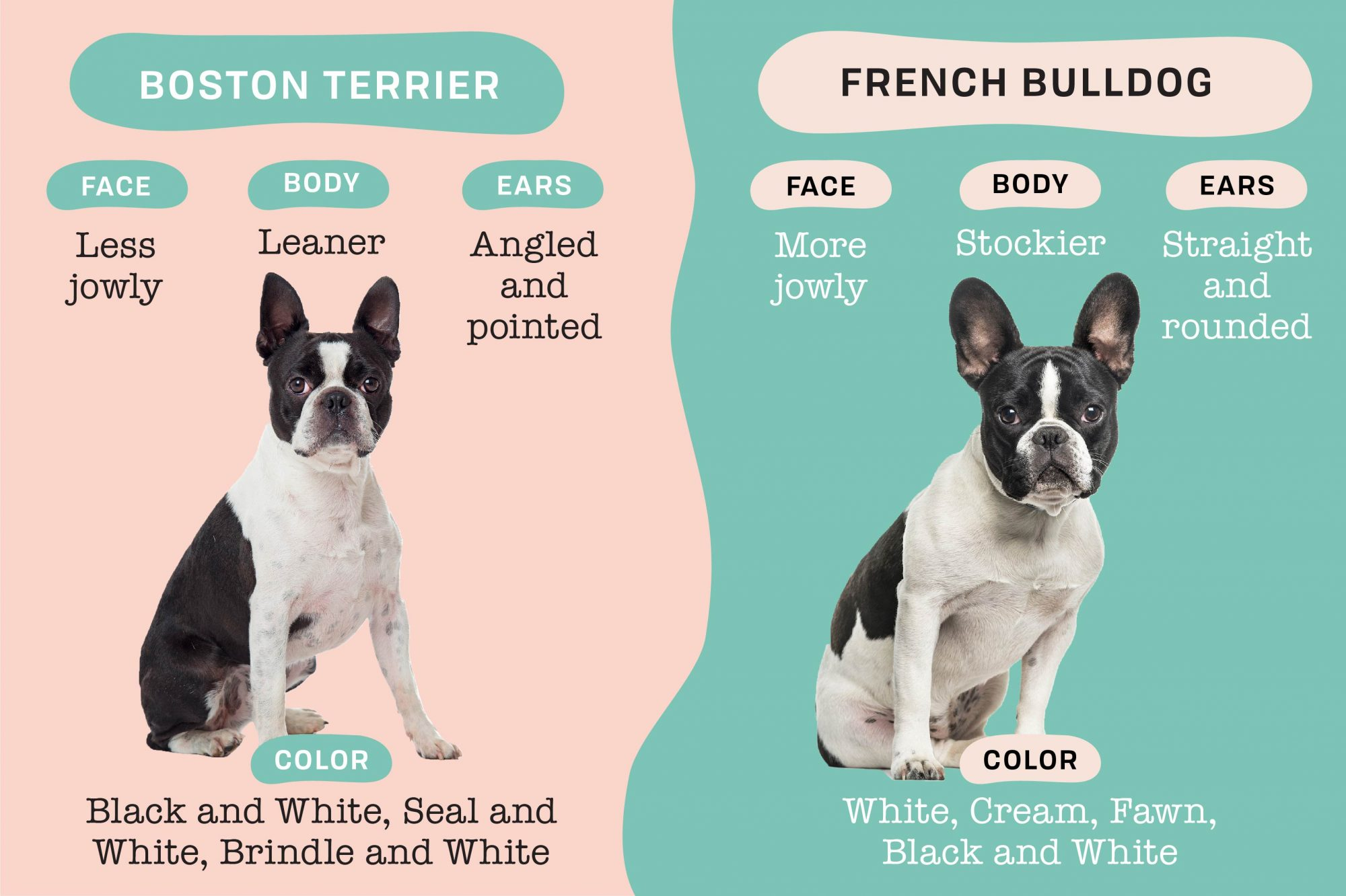boston terrier vs french bulldog physical differences