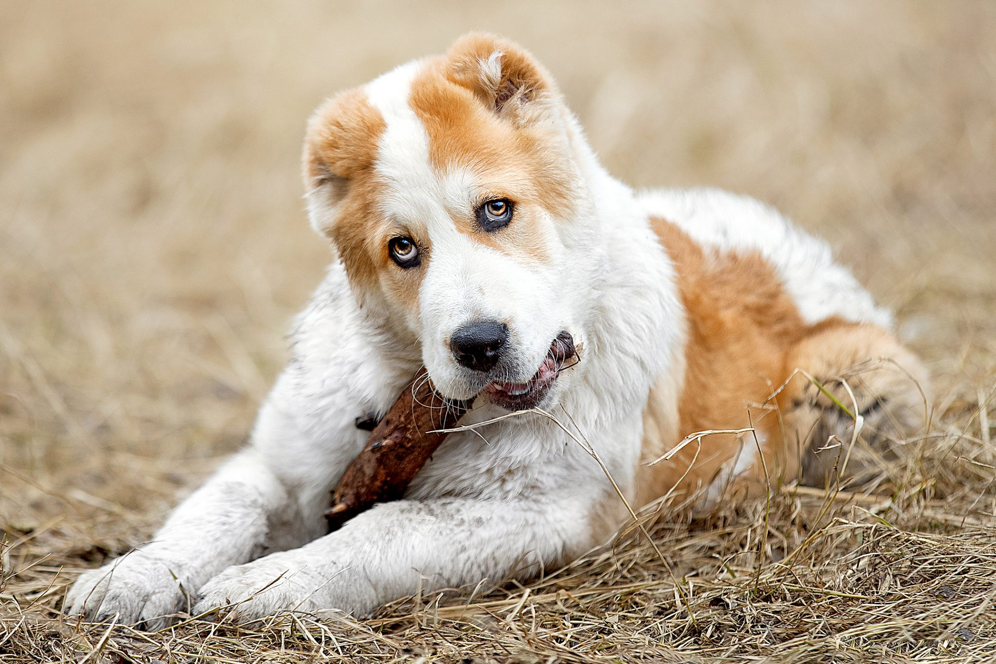 central asian shepherd chewing on stick